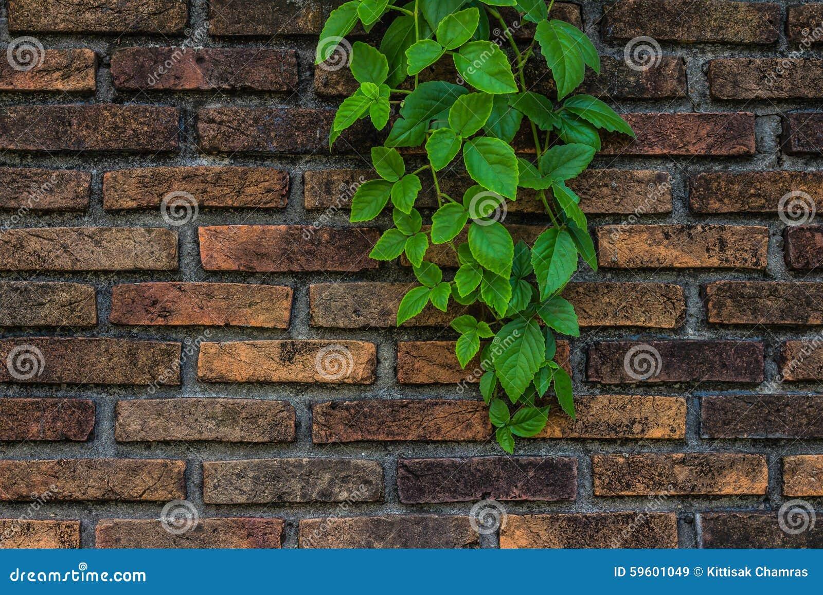 Edera su un muro di mattoni immagine stock immagine di for Vernice muro