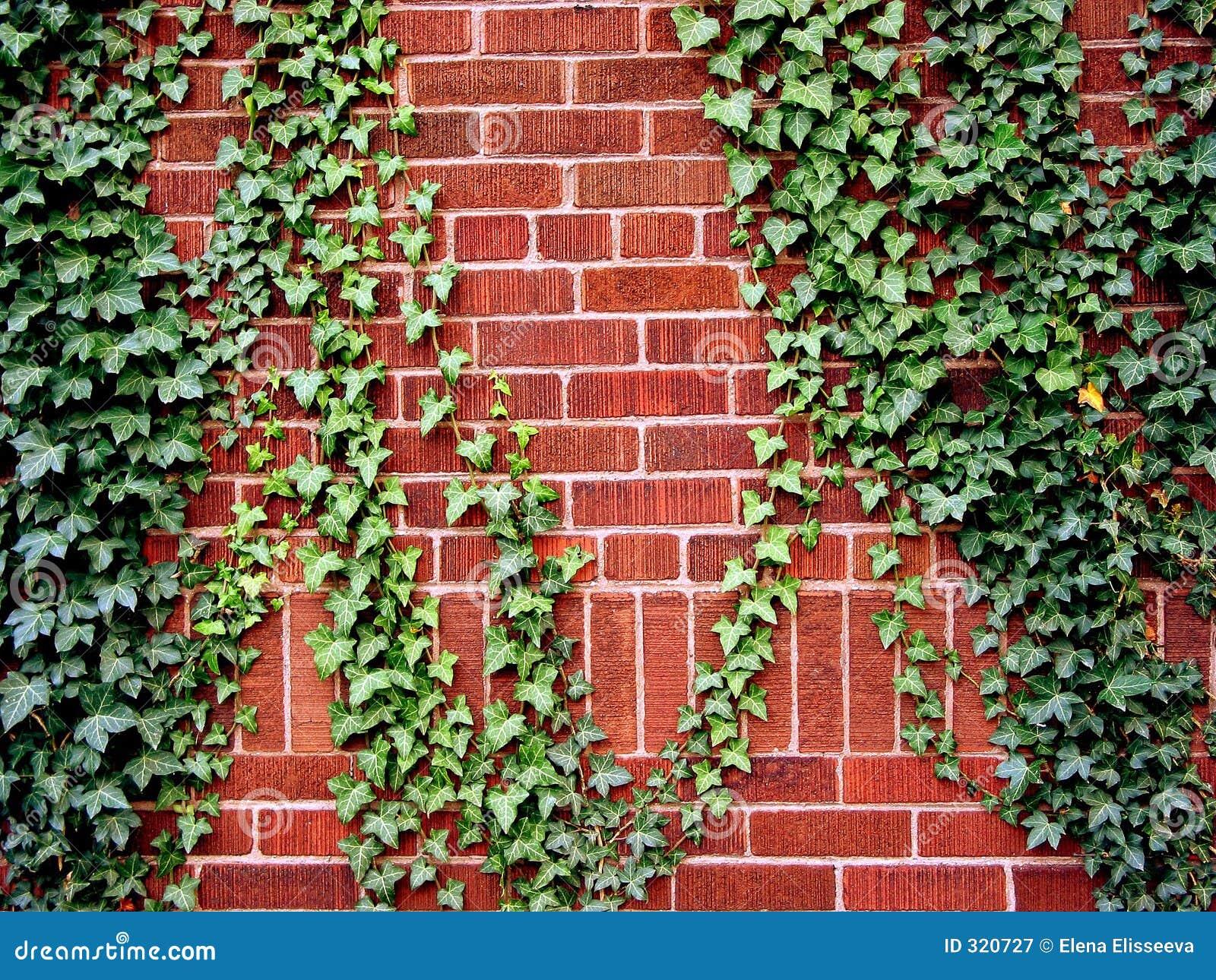 Edera sul muro di mattoni