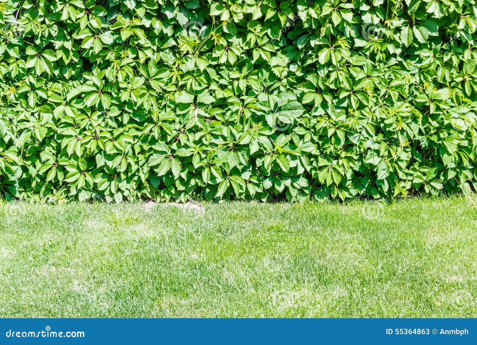 Edera sulla parete e sull erba