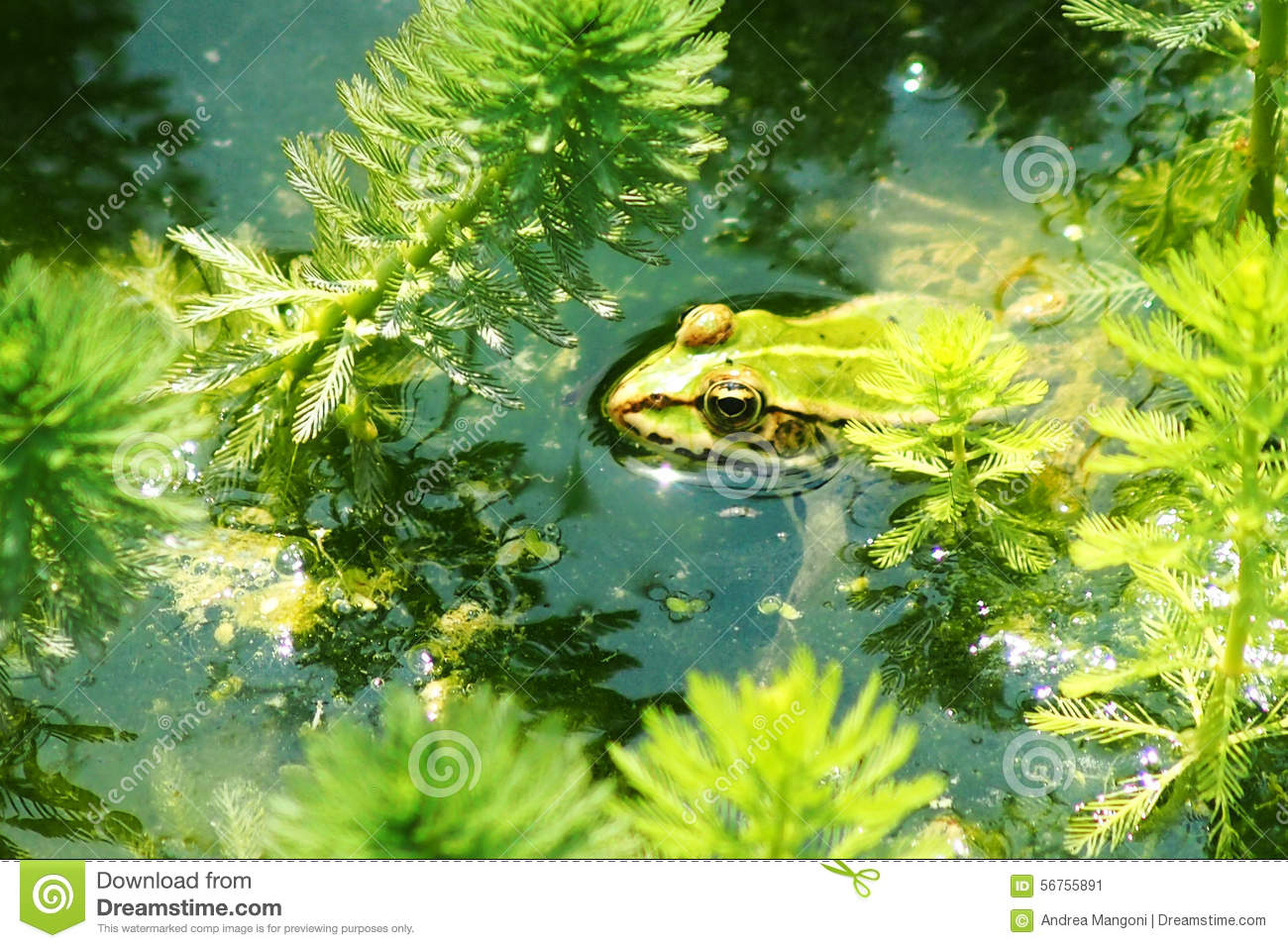 Frog in the pond stock photo 51137352 for Pond dealers