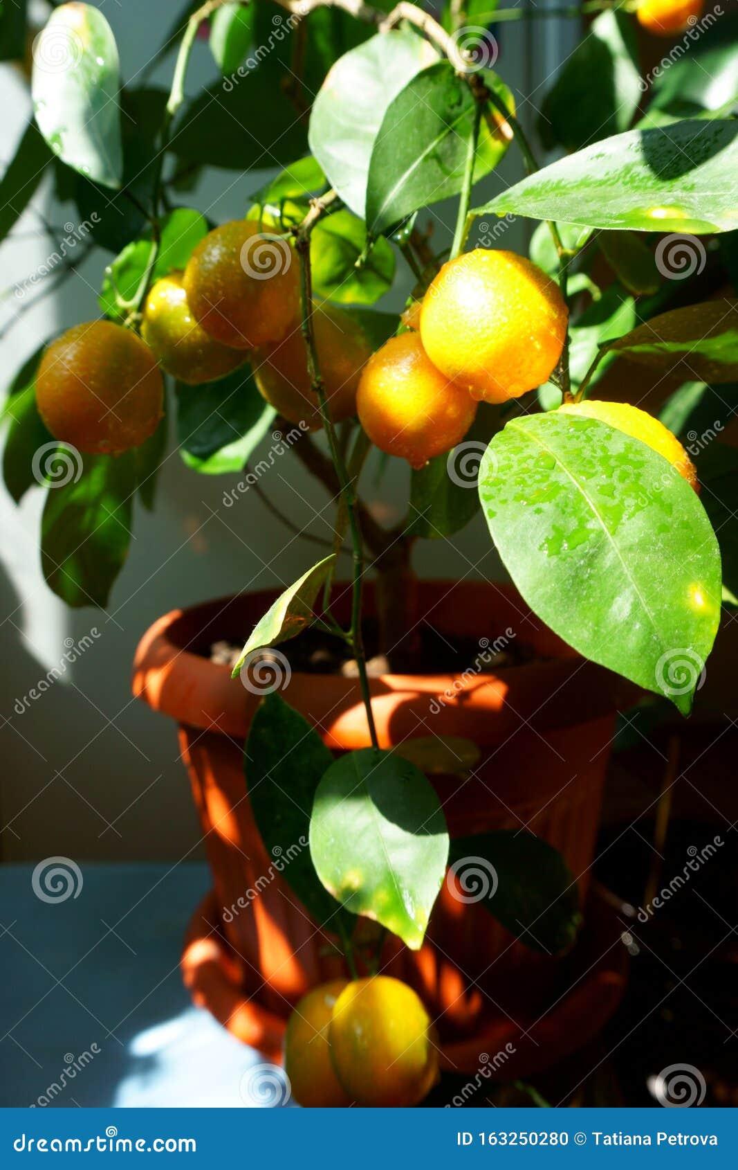 Edible Fruit Mandarin Bonsai Tree Citrus Bonsai Stock Photo Image Of Lemon Small 163250280