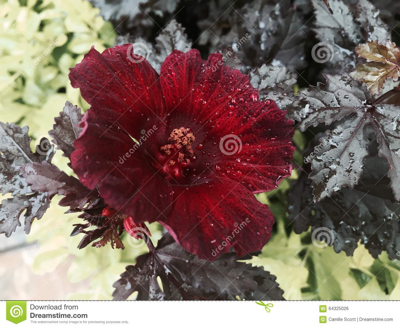 Edible hibiscus stock photo image of edible palm nicely 64325026 edible hibiscus izmirmasajfo