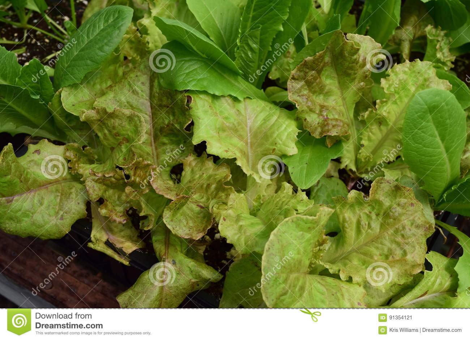 Edible lettuce growing in a seed flat