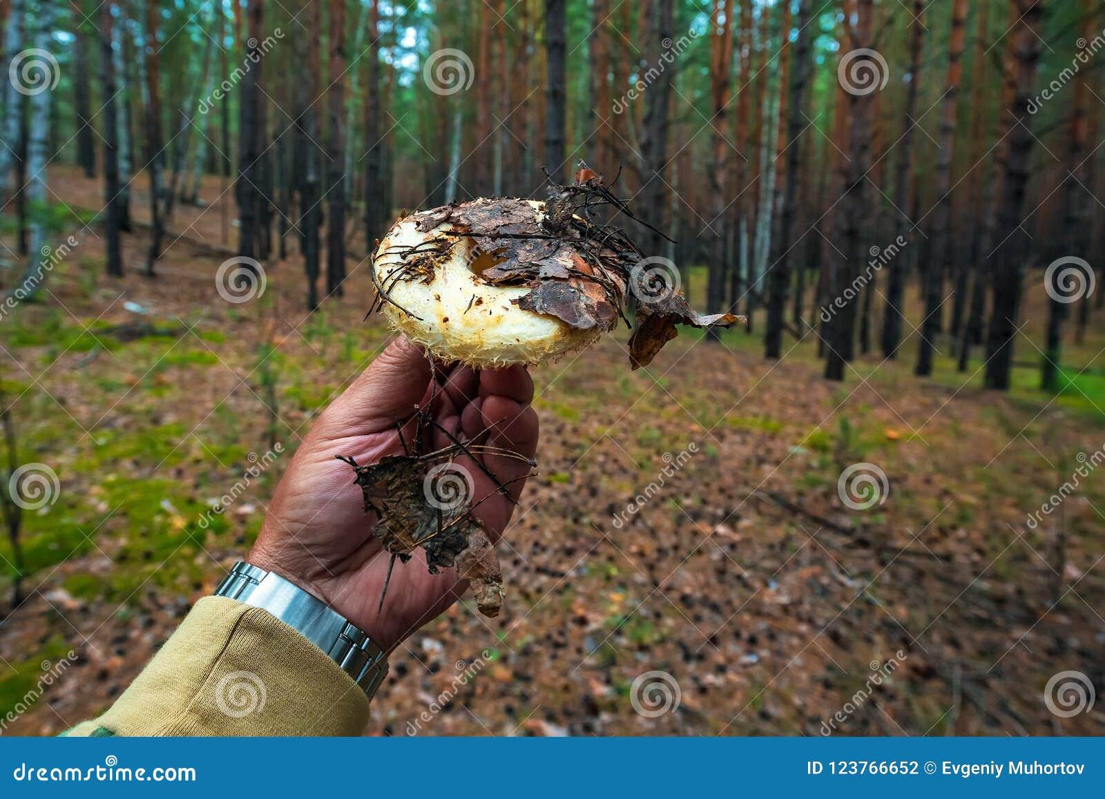 Edible Mushroom-a Real Bunch Lat  Lactarius Resimus Stock