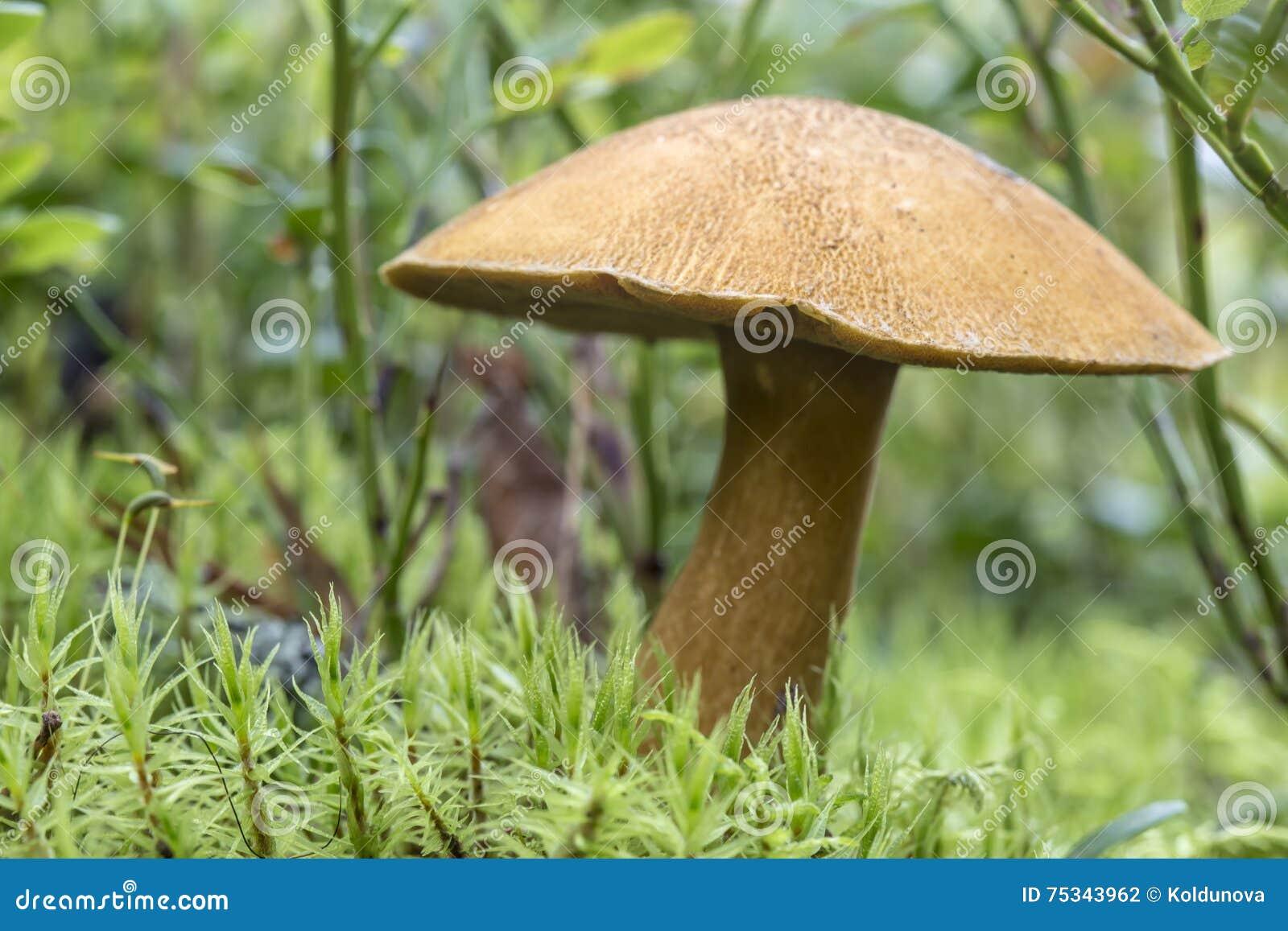 Edible mushroom xerocomus subtomentosus in moss macro