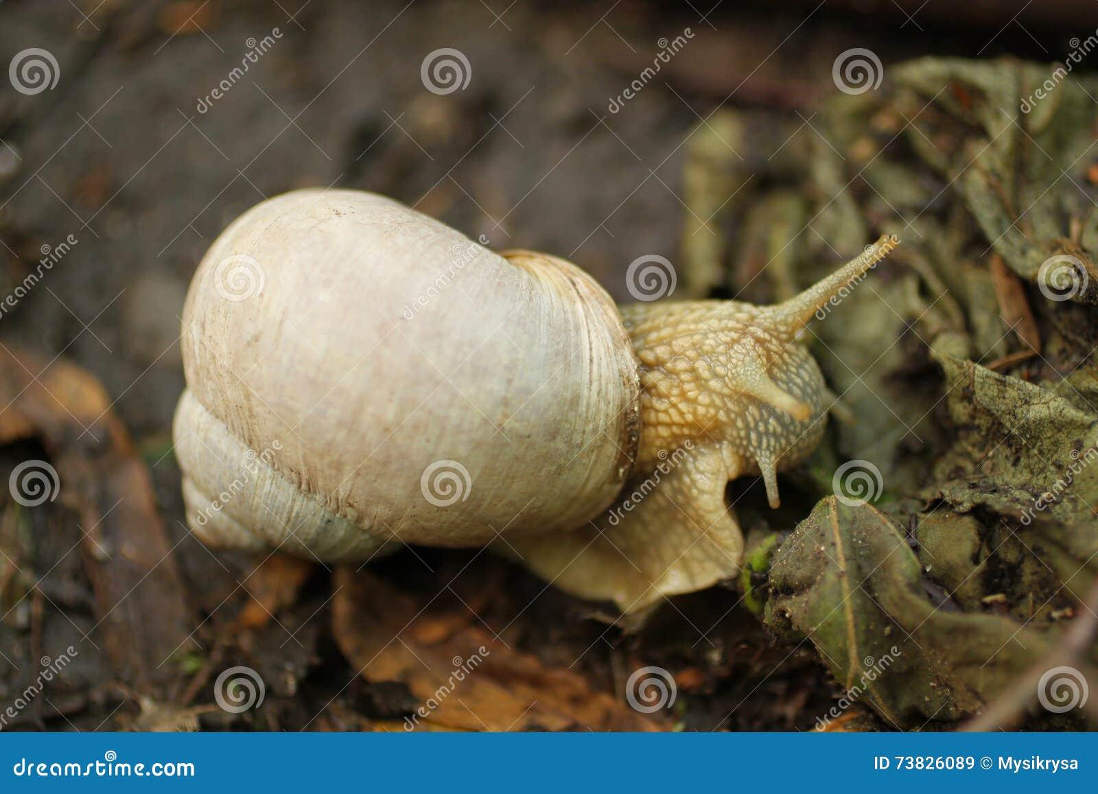 Edible snail eating leaf stock image. Image of gastropod - 73826089