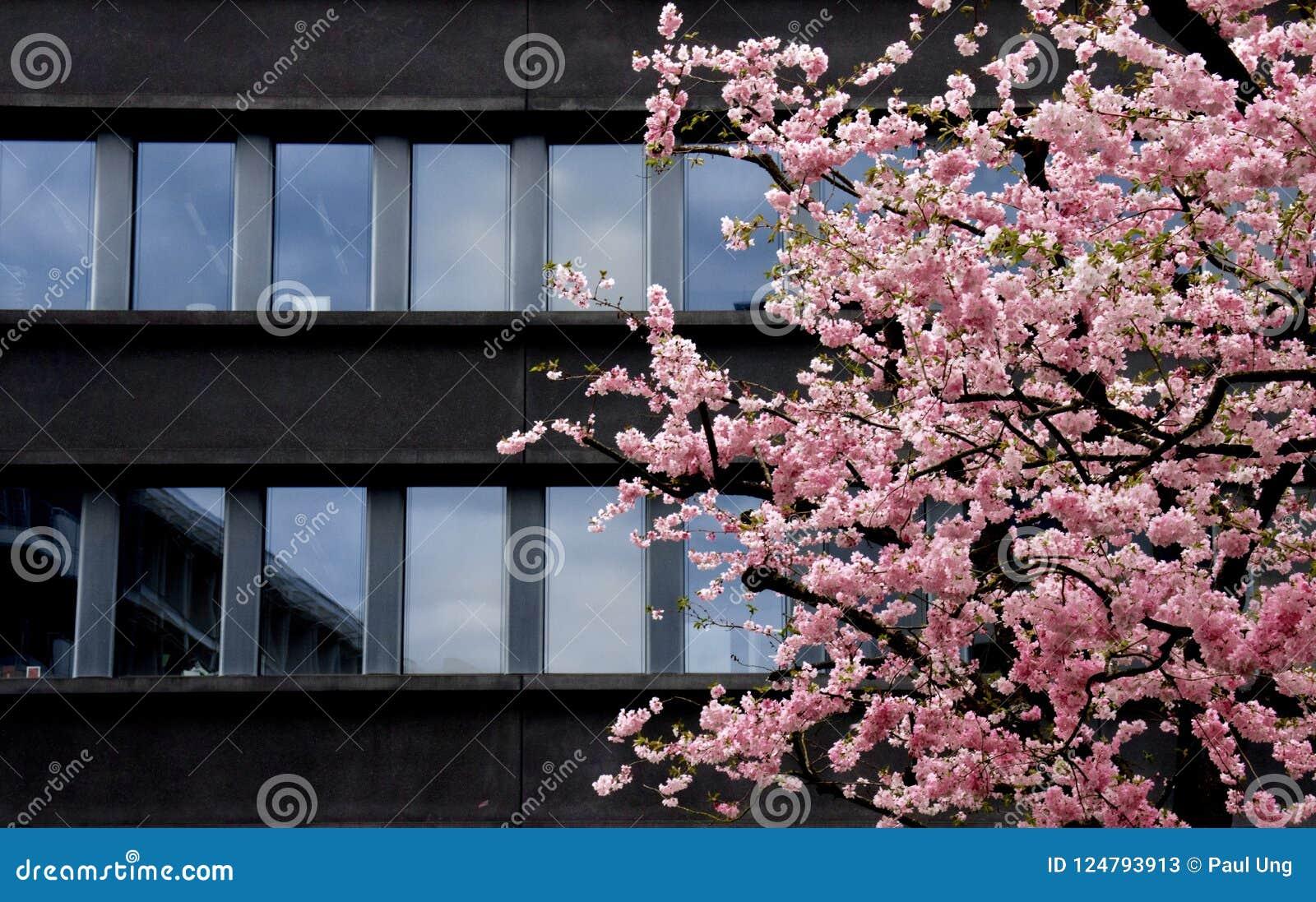 Edificio oscuro moderno del contraste de la flor de cerezo