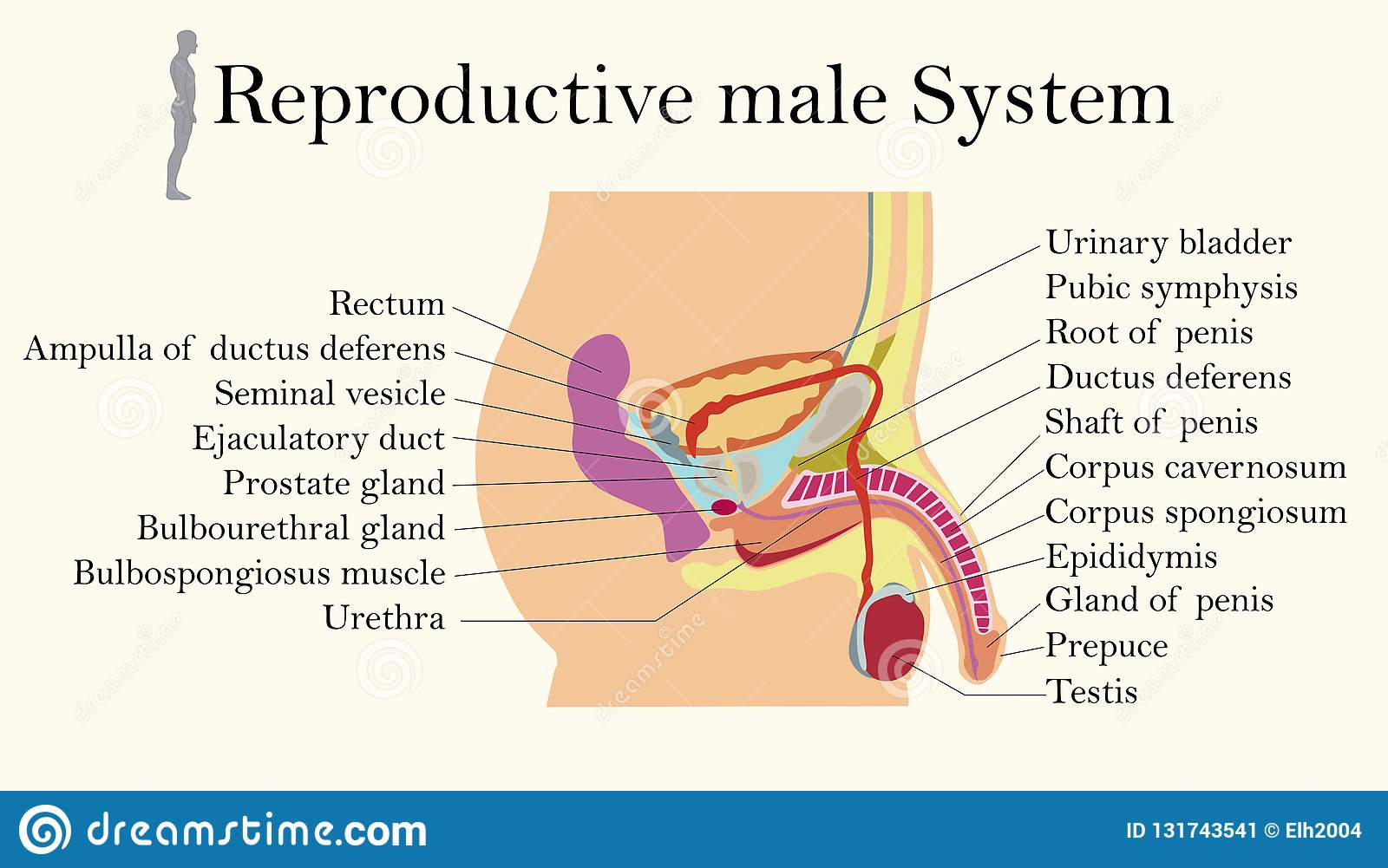 Education Chart Of Biology For Male Reproductive System Diagram