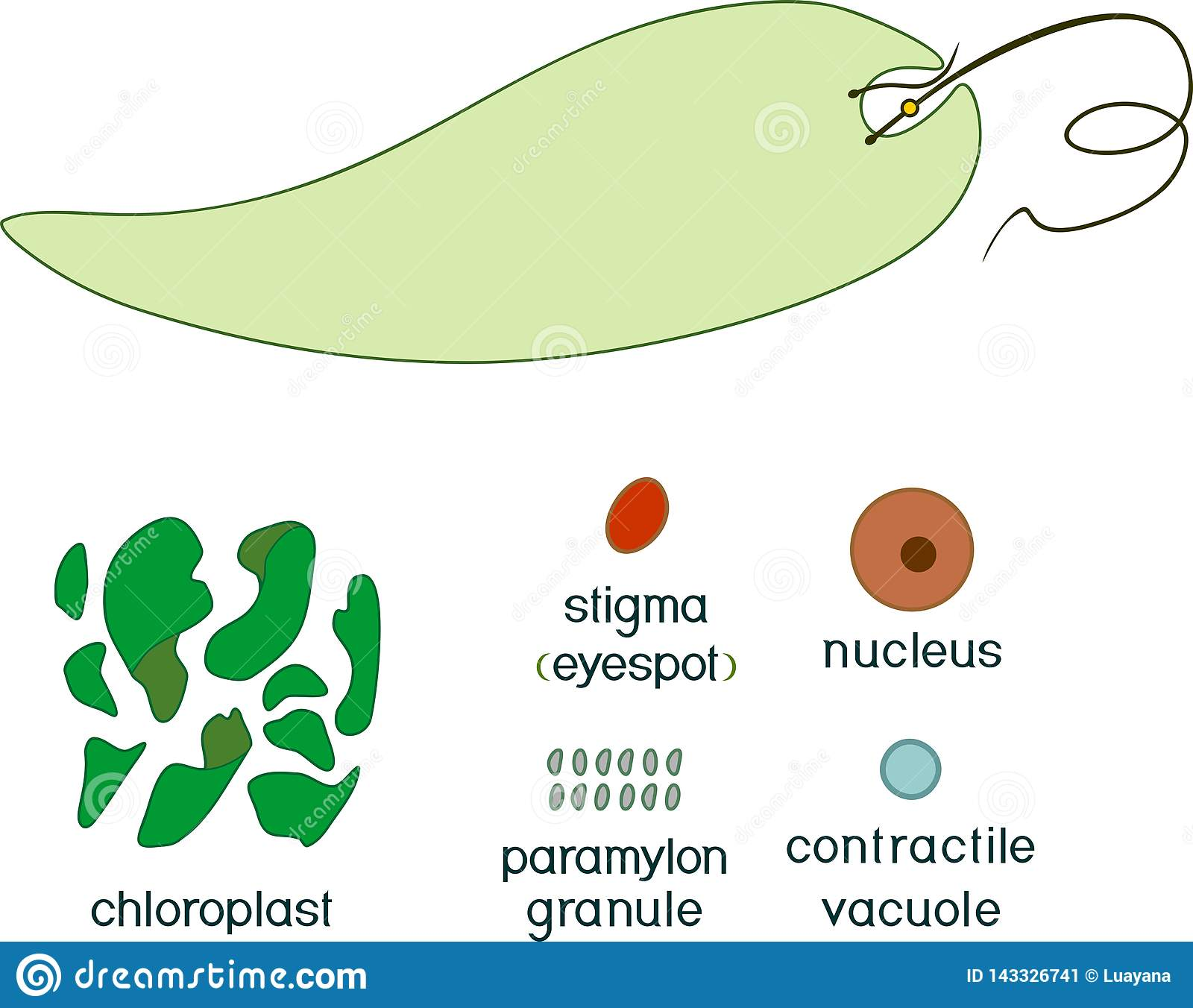 Educational Game: Assembling Euglena Viridis From Ready-made