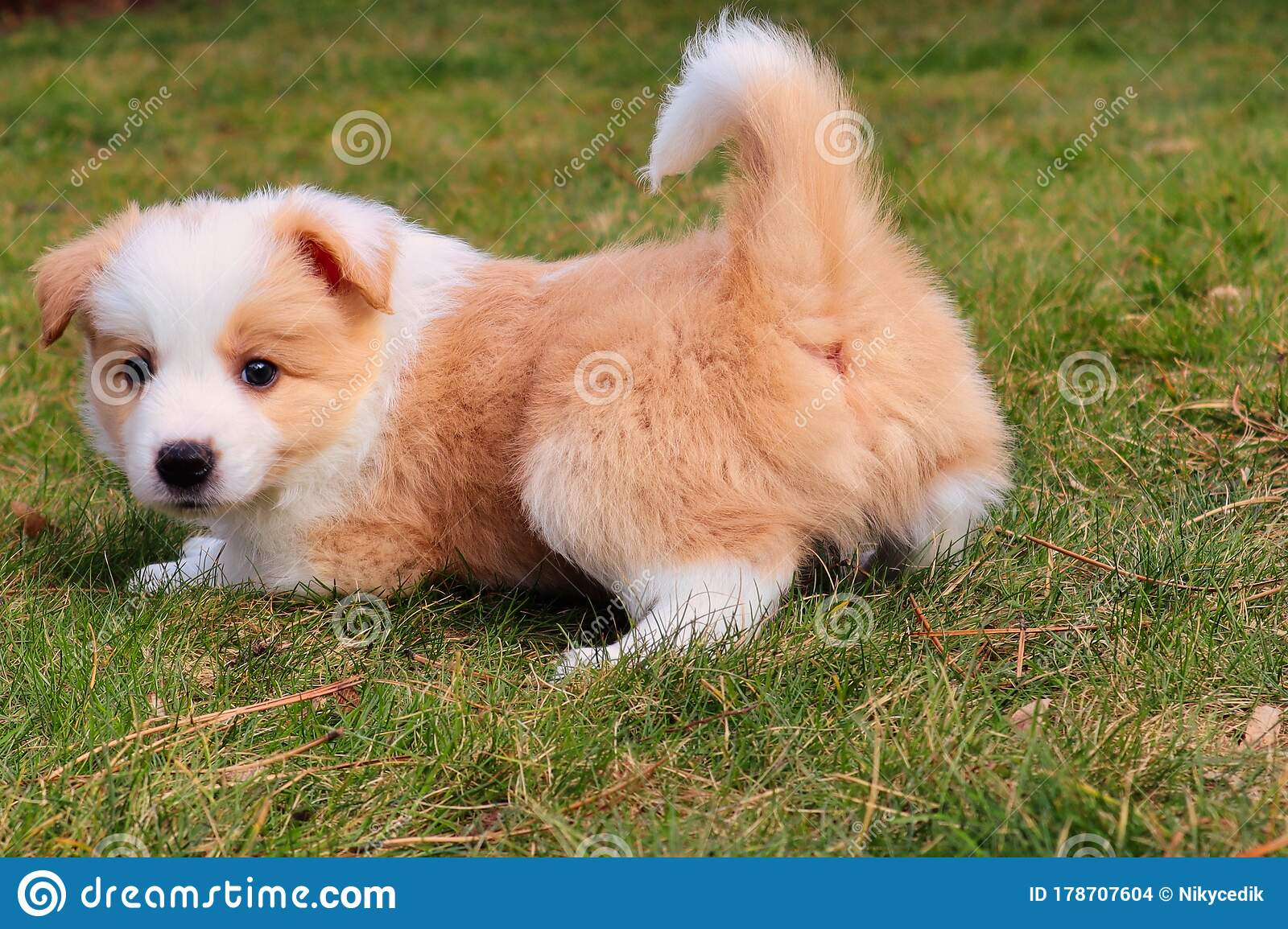 Ee Red Border Collie Puppy Playing On A Garden Stock Photo Image Of Collie Golden 178707604