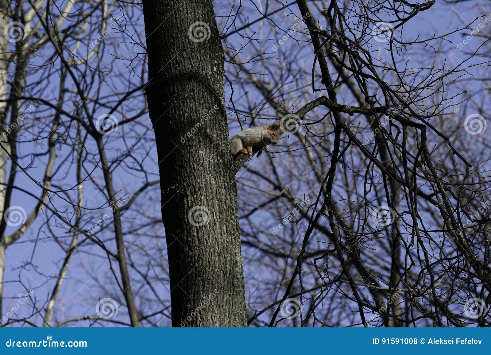 Eekhoorn in de natuurlijke habitat De eekhoorn beklimt snel bomen, vindt voedsel en eet het Zonnige de lentedag in het bos