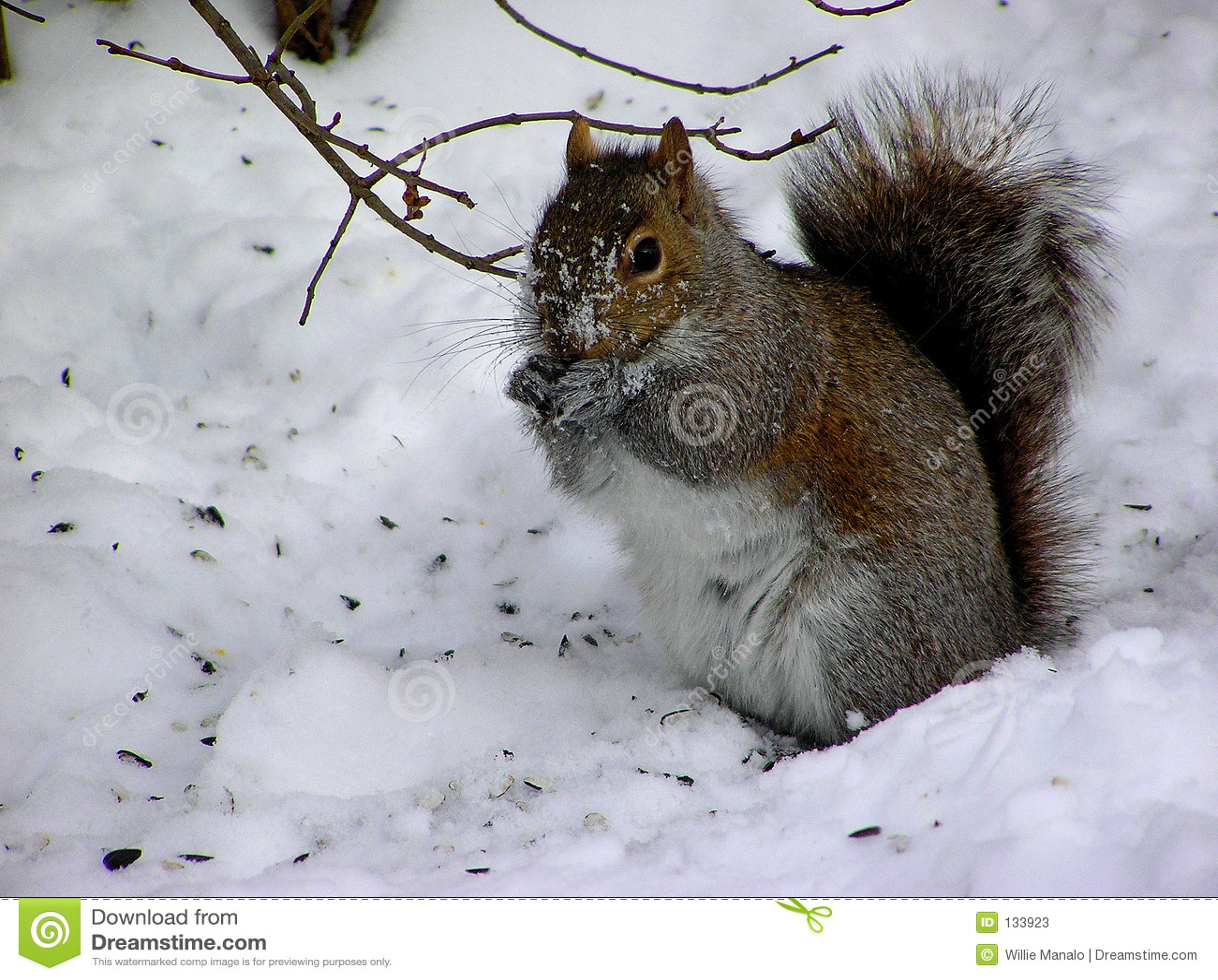 Eekhoorn in de sneeuw stock afbeelding afbeelding bestaande uit zoogdieren 133923 - Foto van de show ...