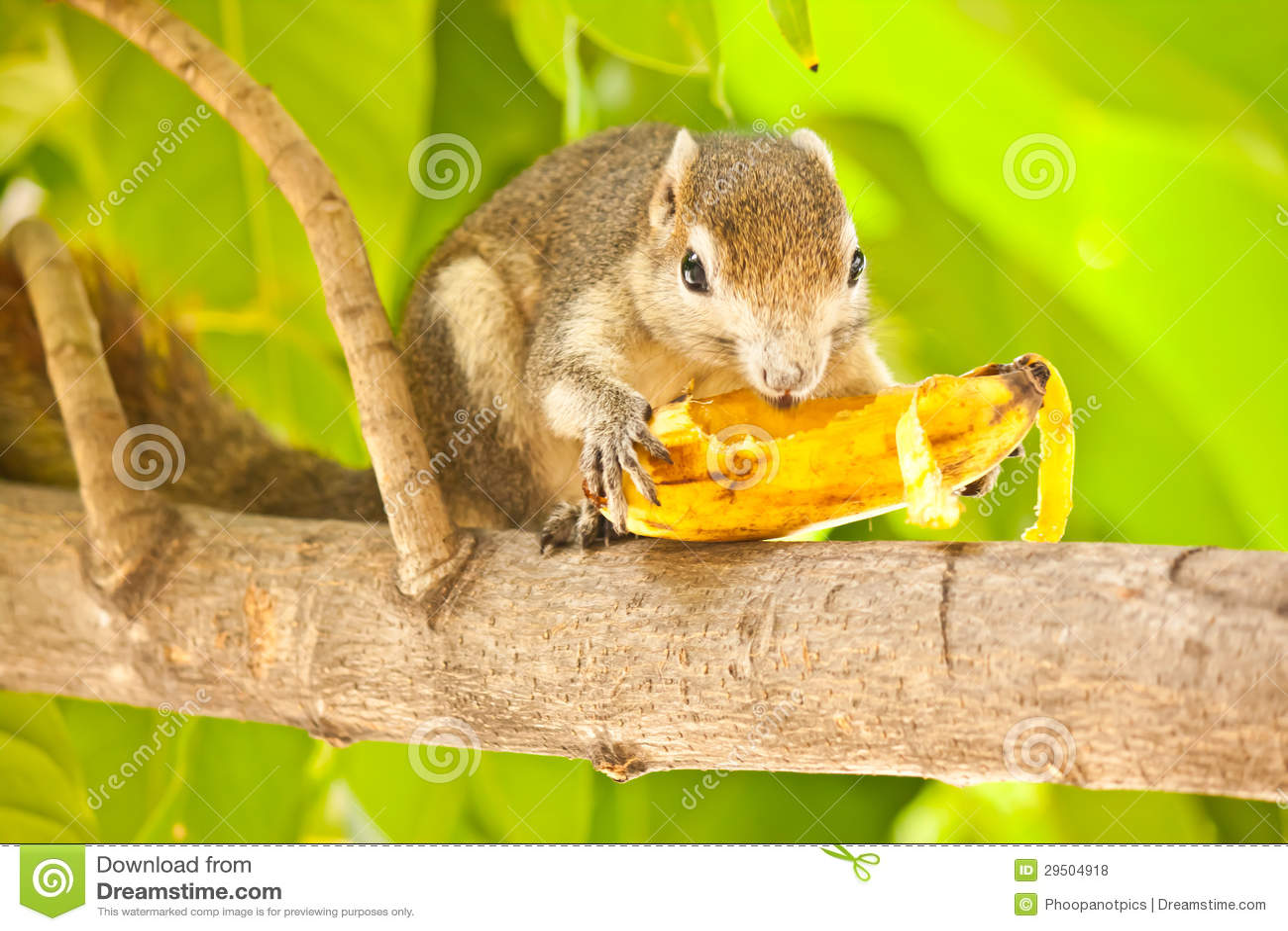 Eekhoorn die banaan eten