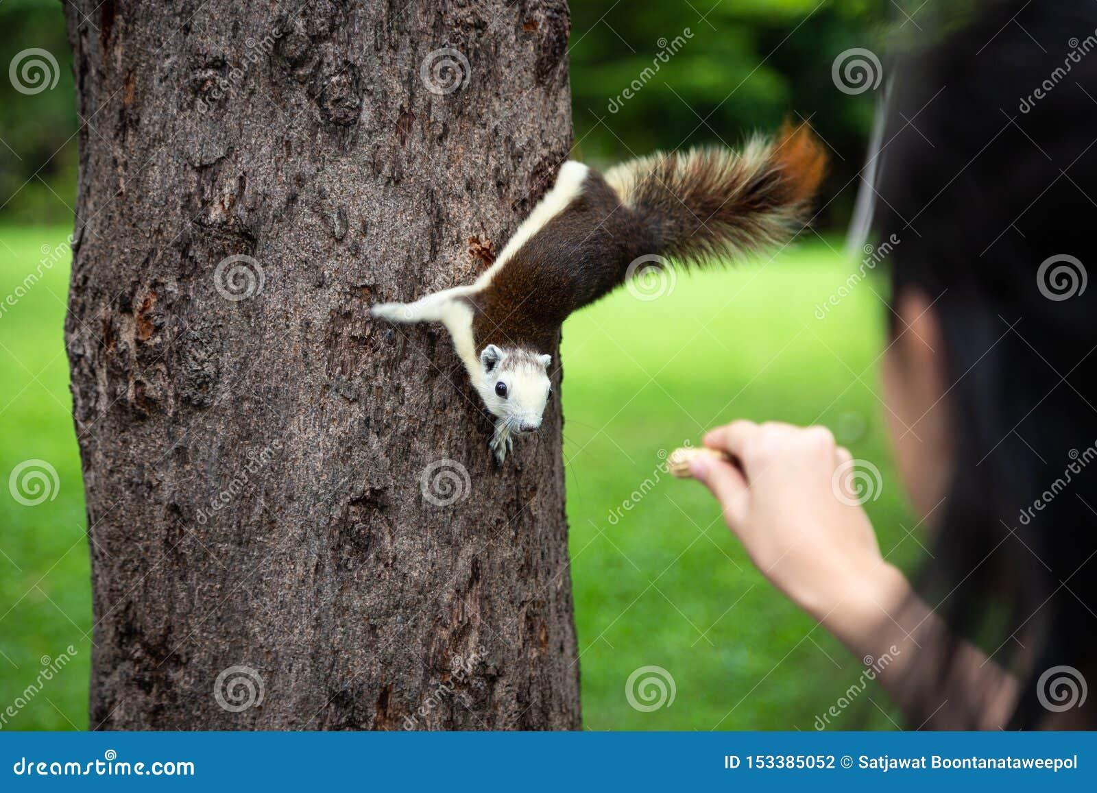 Eekhoorn die noot uit weinig hand van het kindmeisje, eekhoorn binnen eten hongerig op boomboomstam in aard, Aziatische meisje he