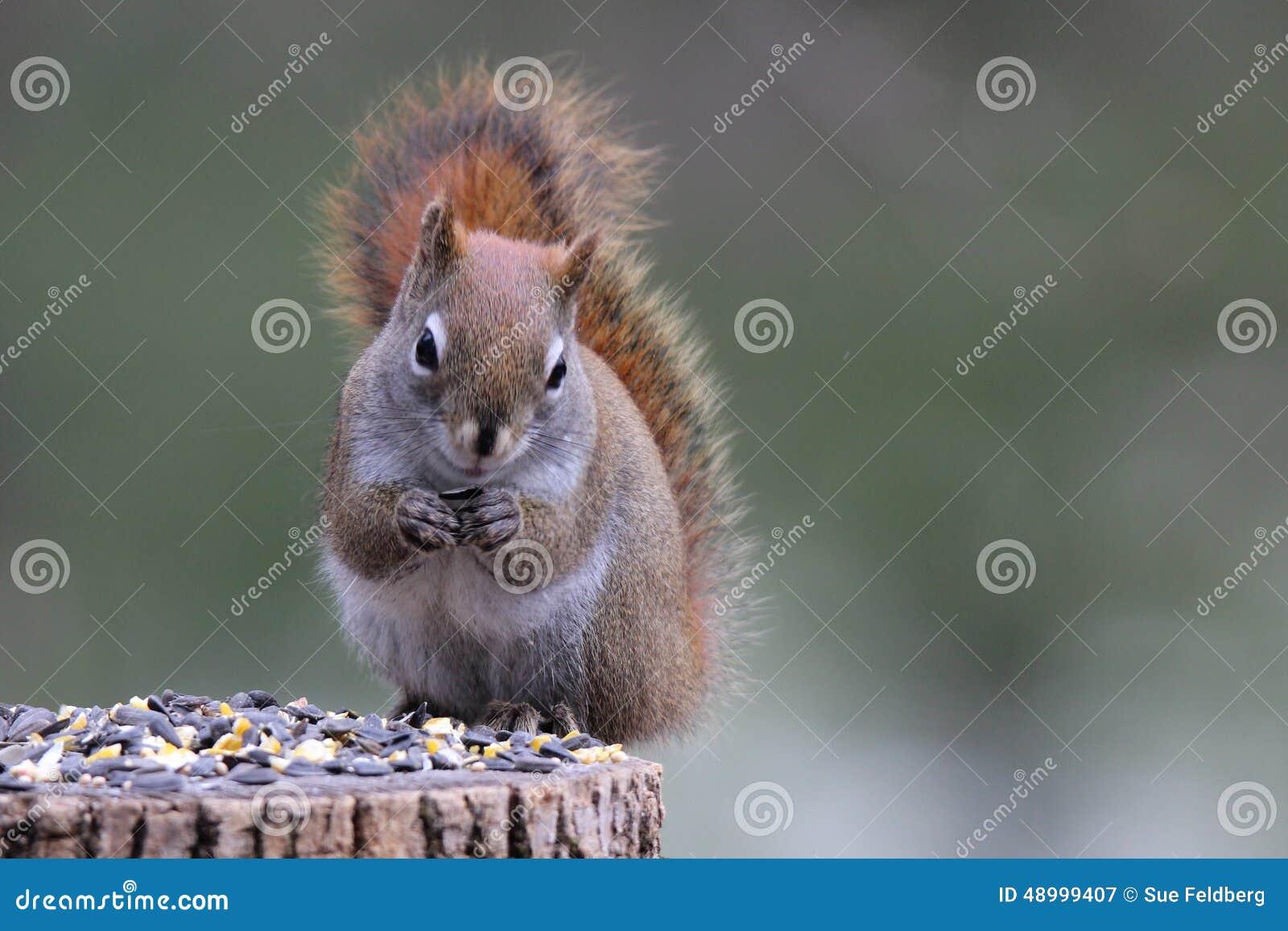 Eekhoorn die zaden eten