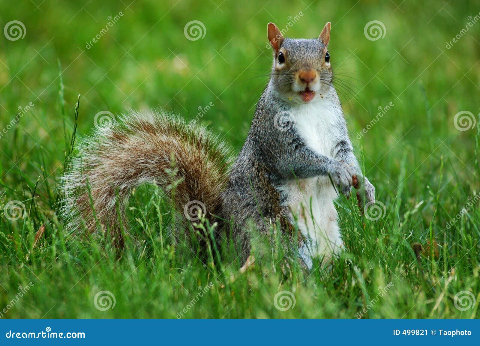 Eekhoorn met grappig gezicht stock afbeelding beeld 499821 - Ogen grappig ...