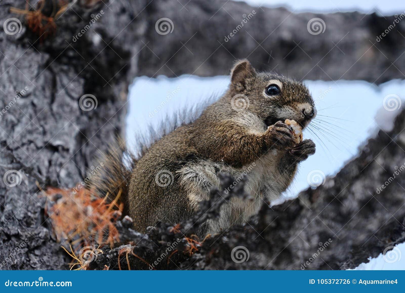 Eekhoorn met Noot Grappige dierlijke eekhoorn die noot op de brunch van de lariksboom eten