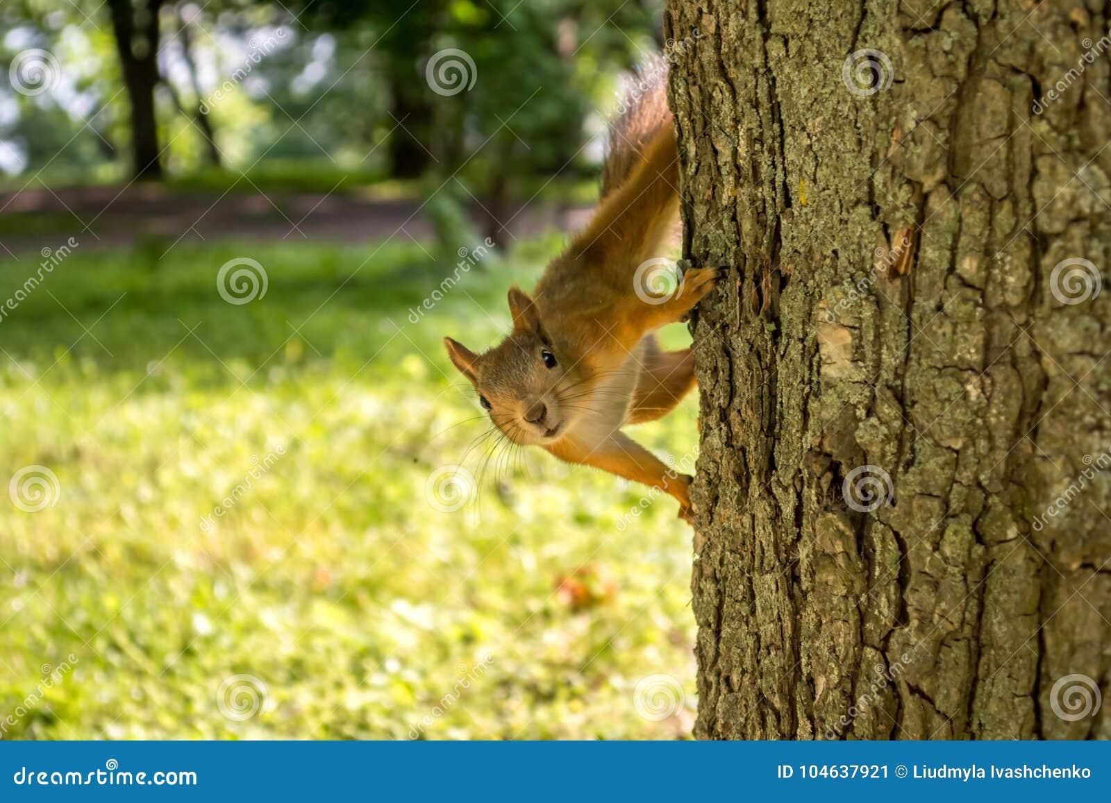 Download Eekhoorn Op De Boom Een Klein Dier In Het Park Stock Afbeelding - Afbeelding bestaande uit aanbiddelijk, bont: 104637921
