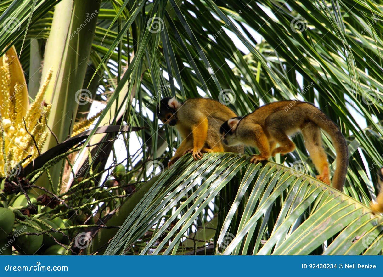 Eekhoornapen in het Nationale Park van Madidi