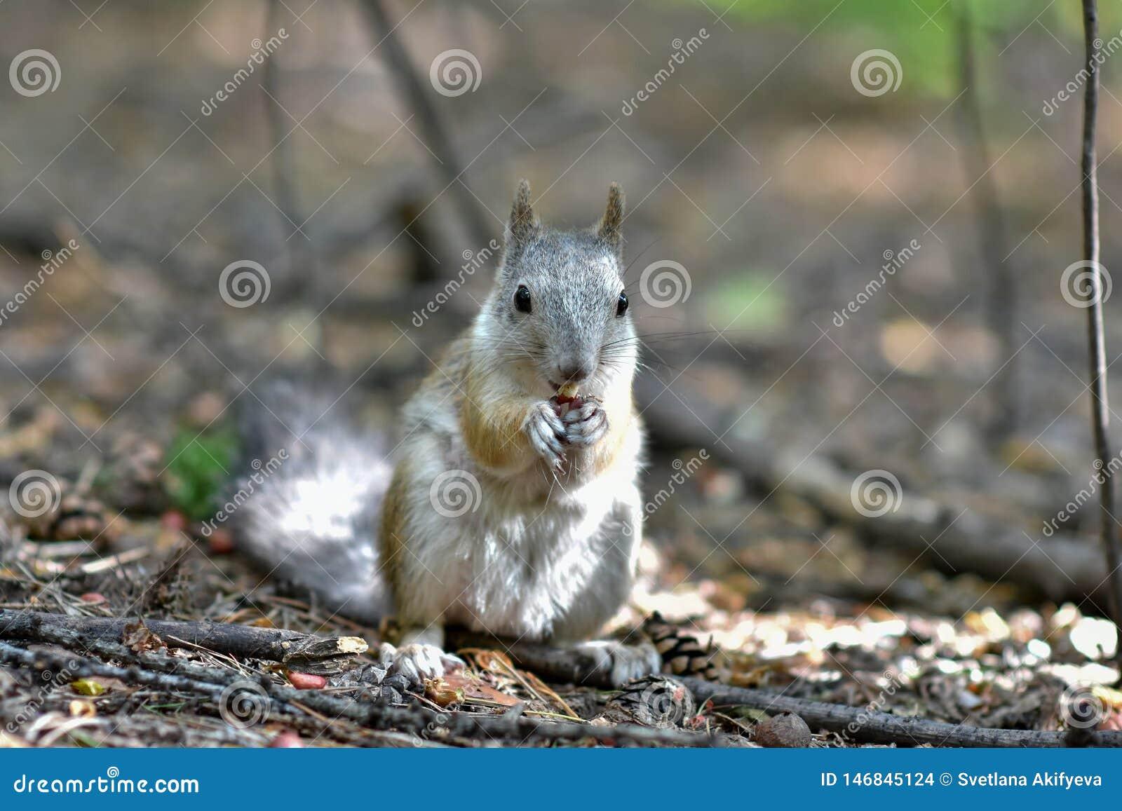 Eekhoornzitting in het de herfst bospark Eekhoorn die een noot in de scène van het de herfst bospark eten
