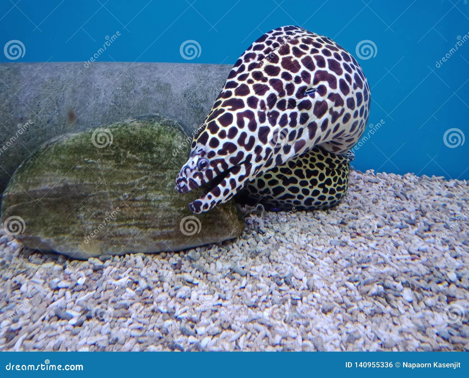 Moray Eels , Like A Snake Body Length Editorial Photo - Image of face,  helianthus: 140955336