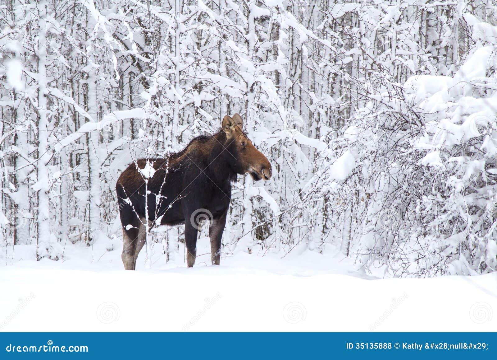 Een Amerikaanse eland in het bos