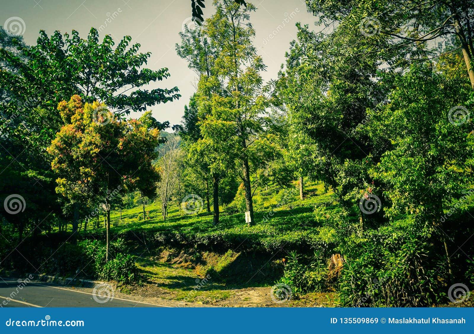 Een asfaltweg met groene boom en theeaanplantingen op de zijweg in puncakbogor