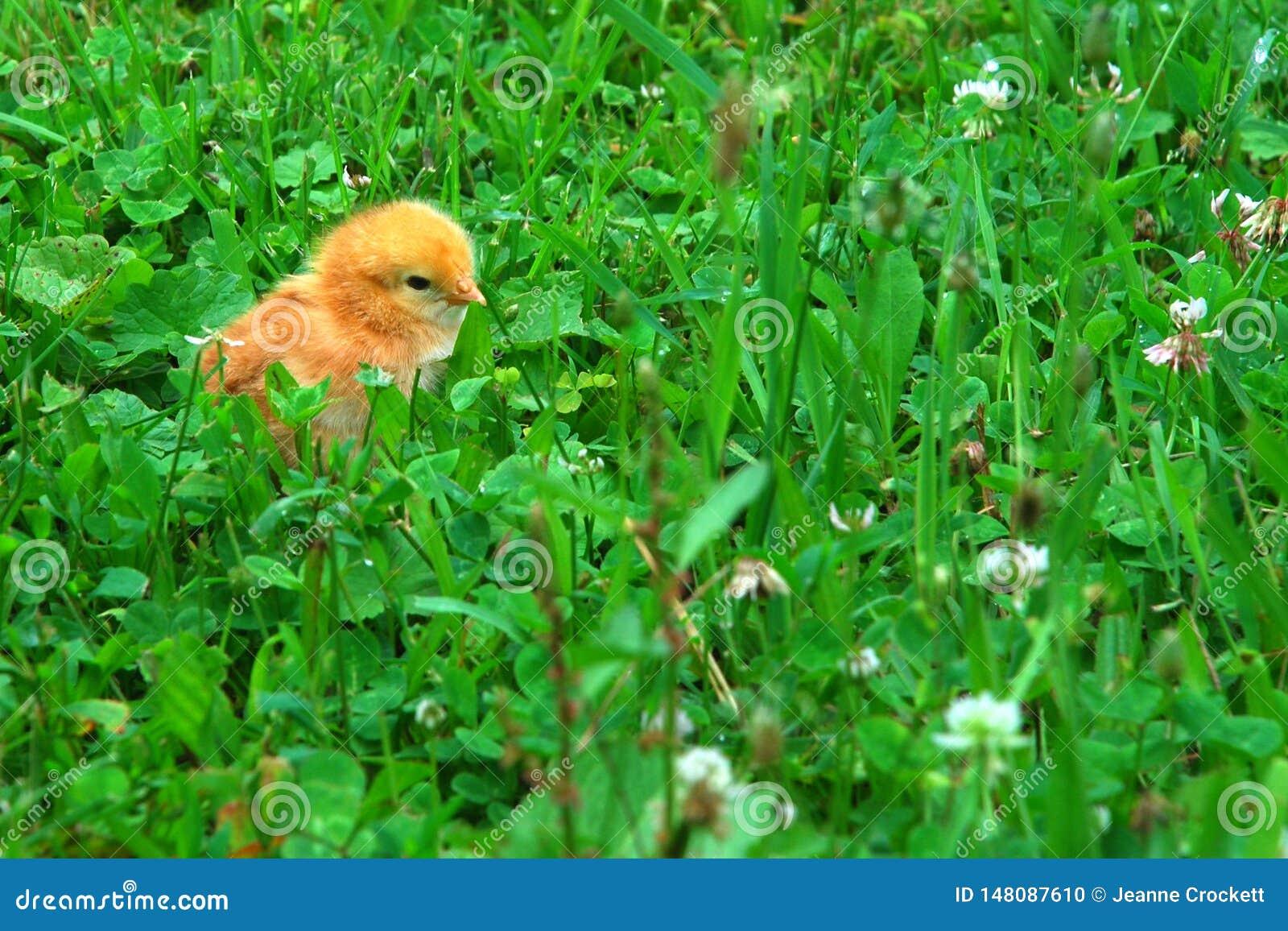 Een babykuiken in gras