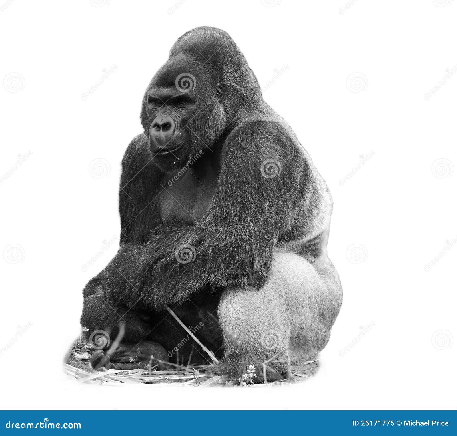 Een beeld b w van een gorilla van het silverbacklaagland stock afbeelding afbeelding 26171775 - Beeld het meisje van ...