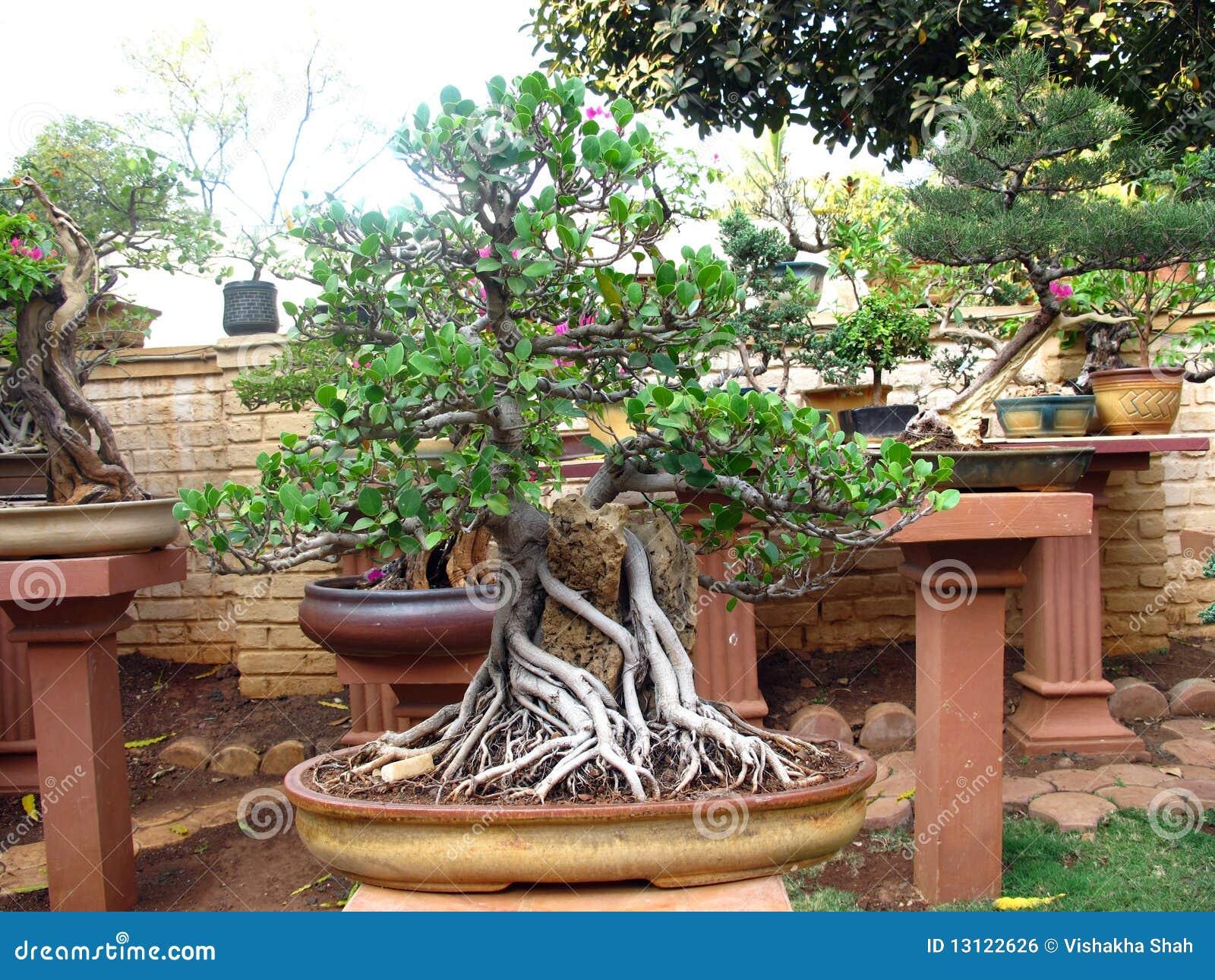 Een beeld van een bonsaiboom bij botanische tuinen royalty for Bonsai de jardin