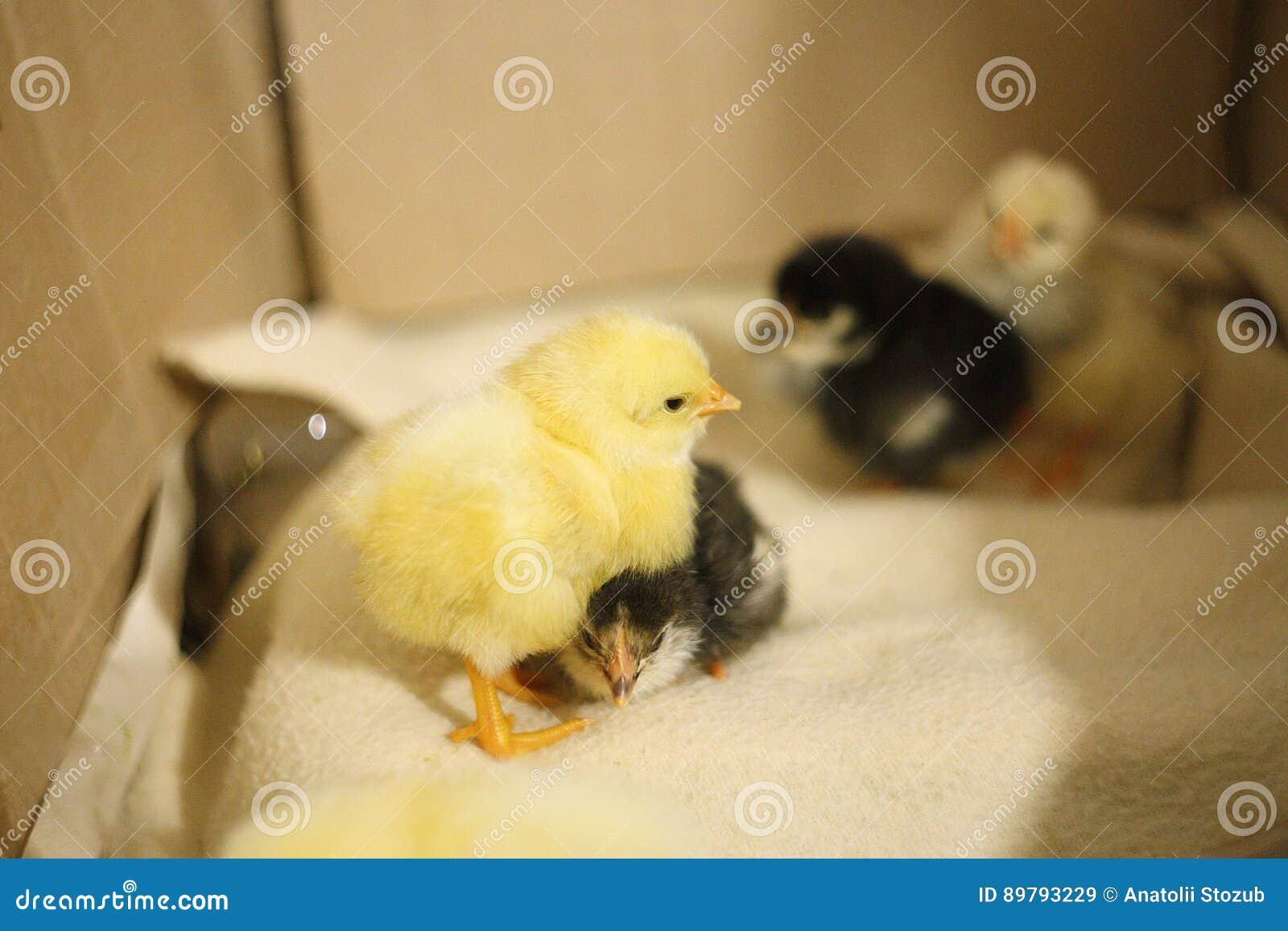 Een beklimt de gele pasgeboren kippentribunes, en onder het zwarte, zoals een kvochku, om warm te houden zorg leuk