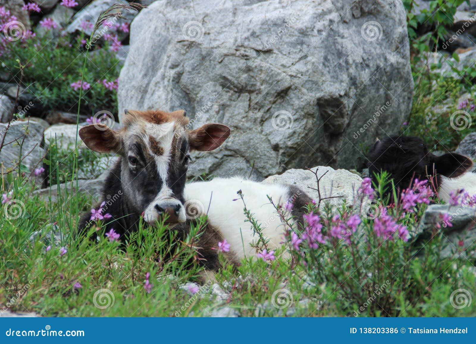 Een bevlekte gehoornde die koe ligt op een weide door purpere bloemen wordt omringd