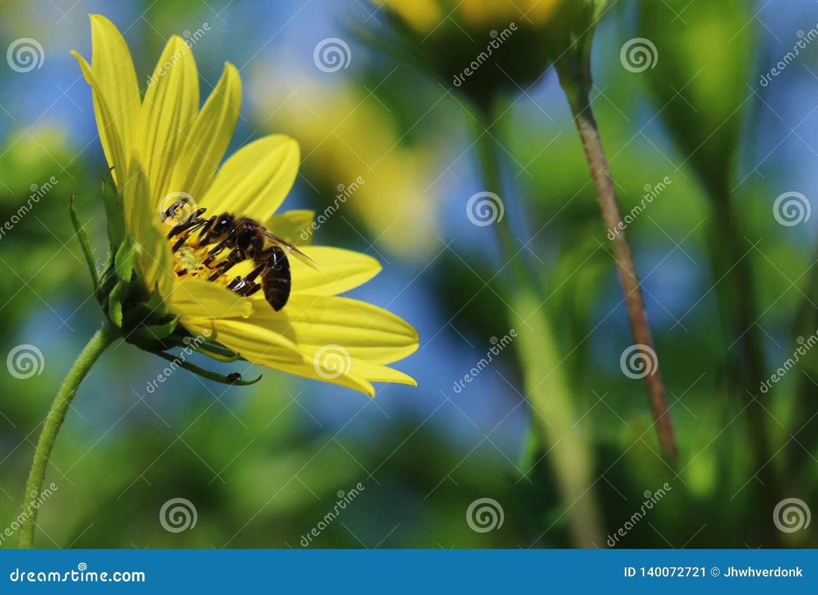 Een bij die een gele bloem met ruimte bestuiven om tekst te plaatsen