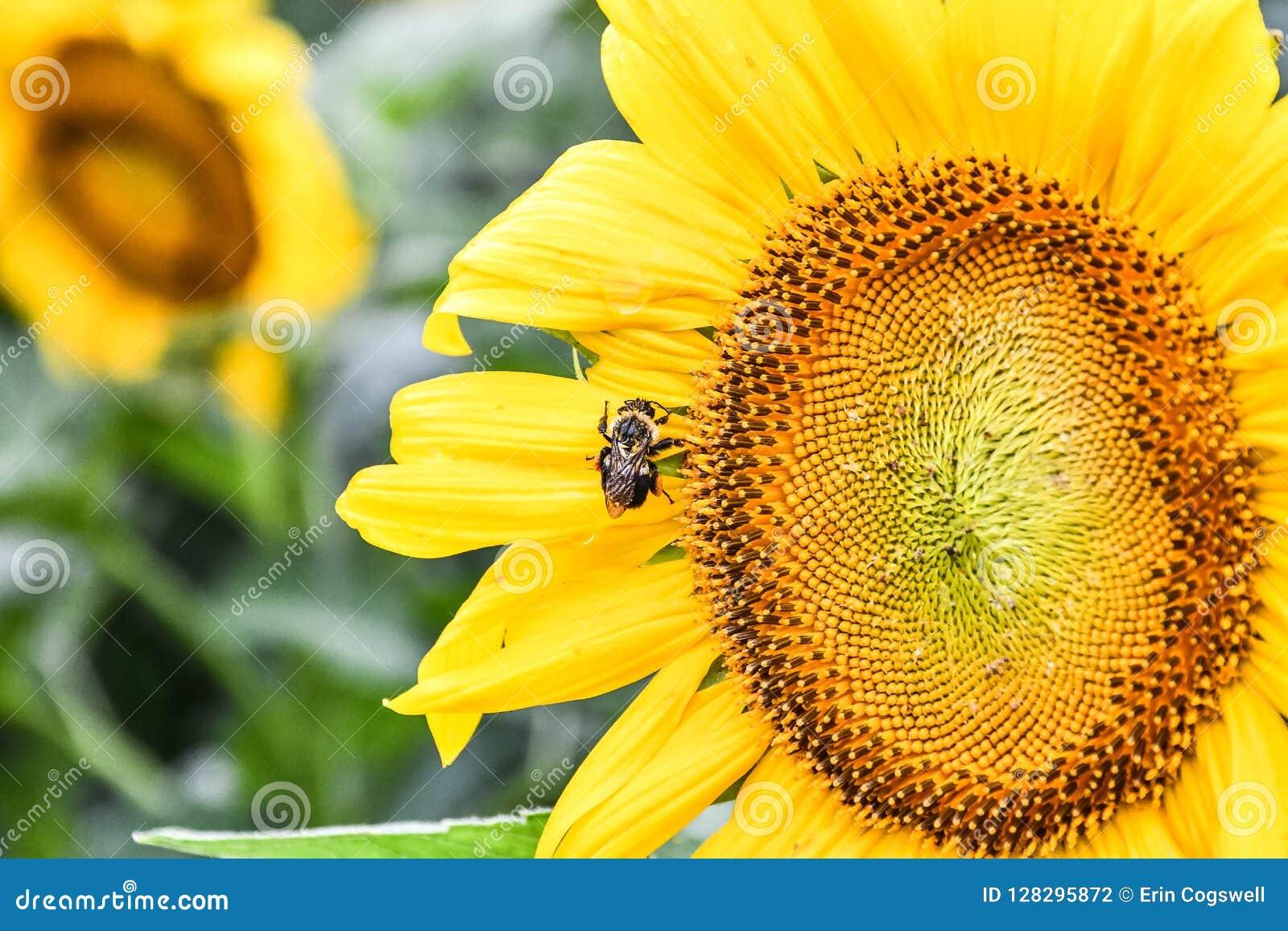 Een bij op een bloeiende zonnebloem, Jaspis, Georgië, de V.S.