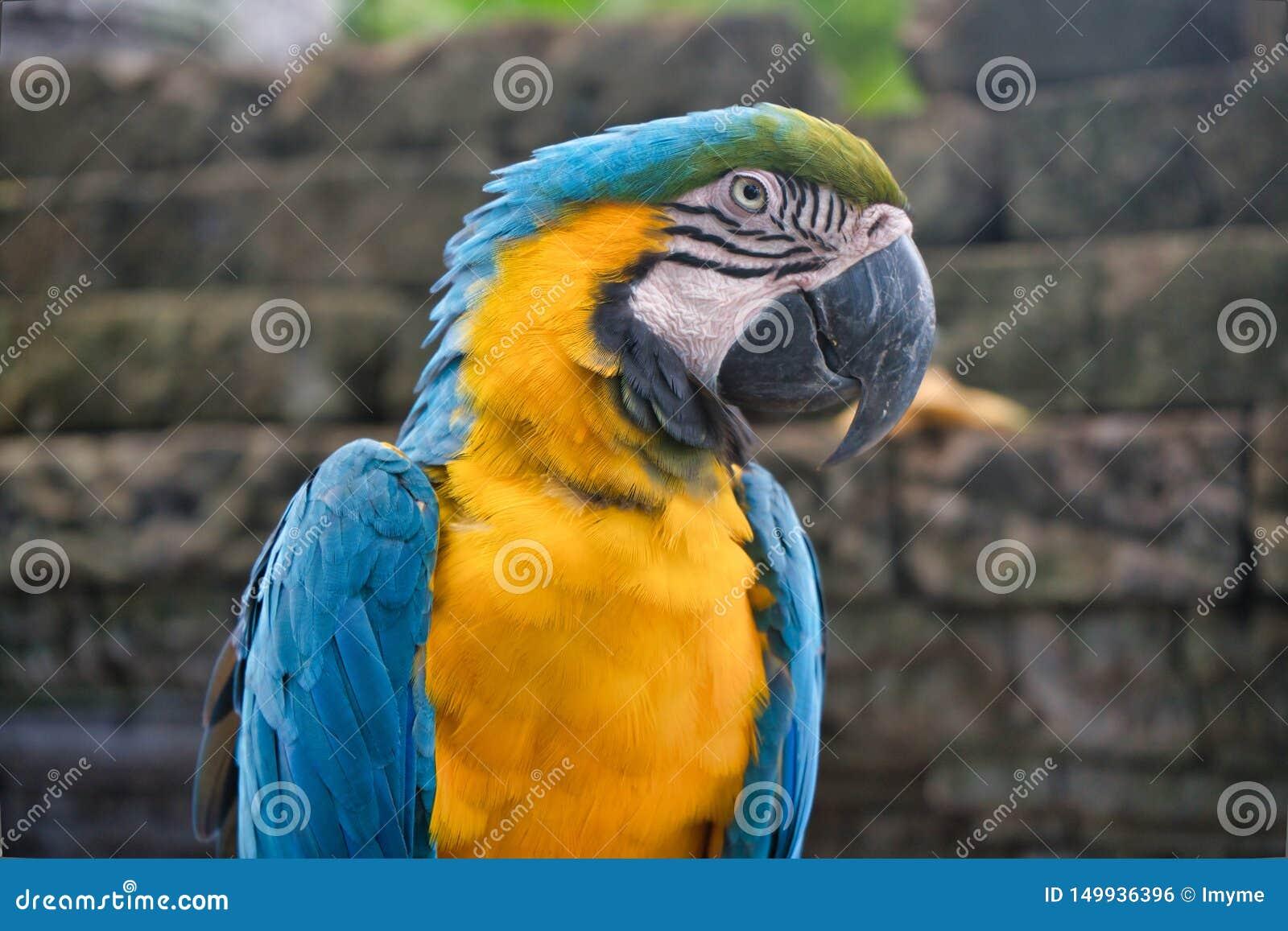 Een blauwe en gele close-up van de arapapegaai