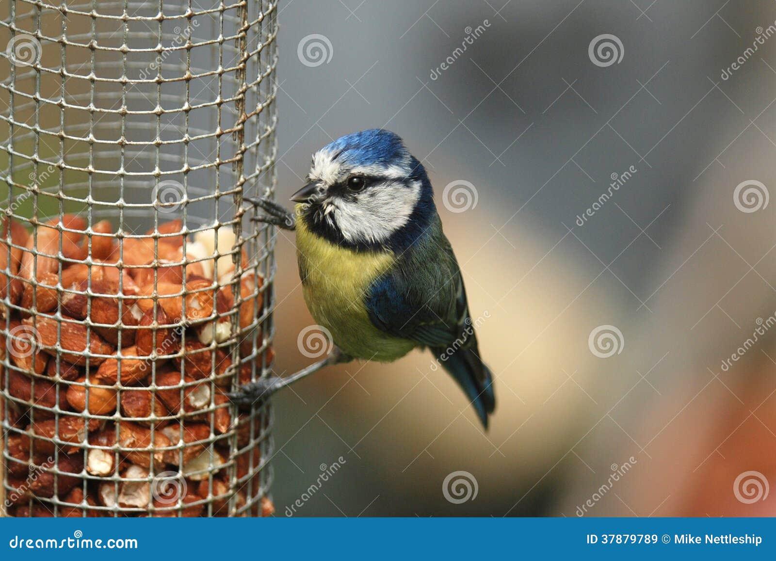 Een blauwe mees streek het voeden op pinda s van een voeder neer