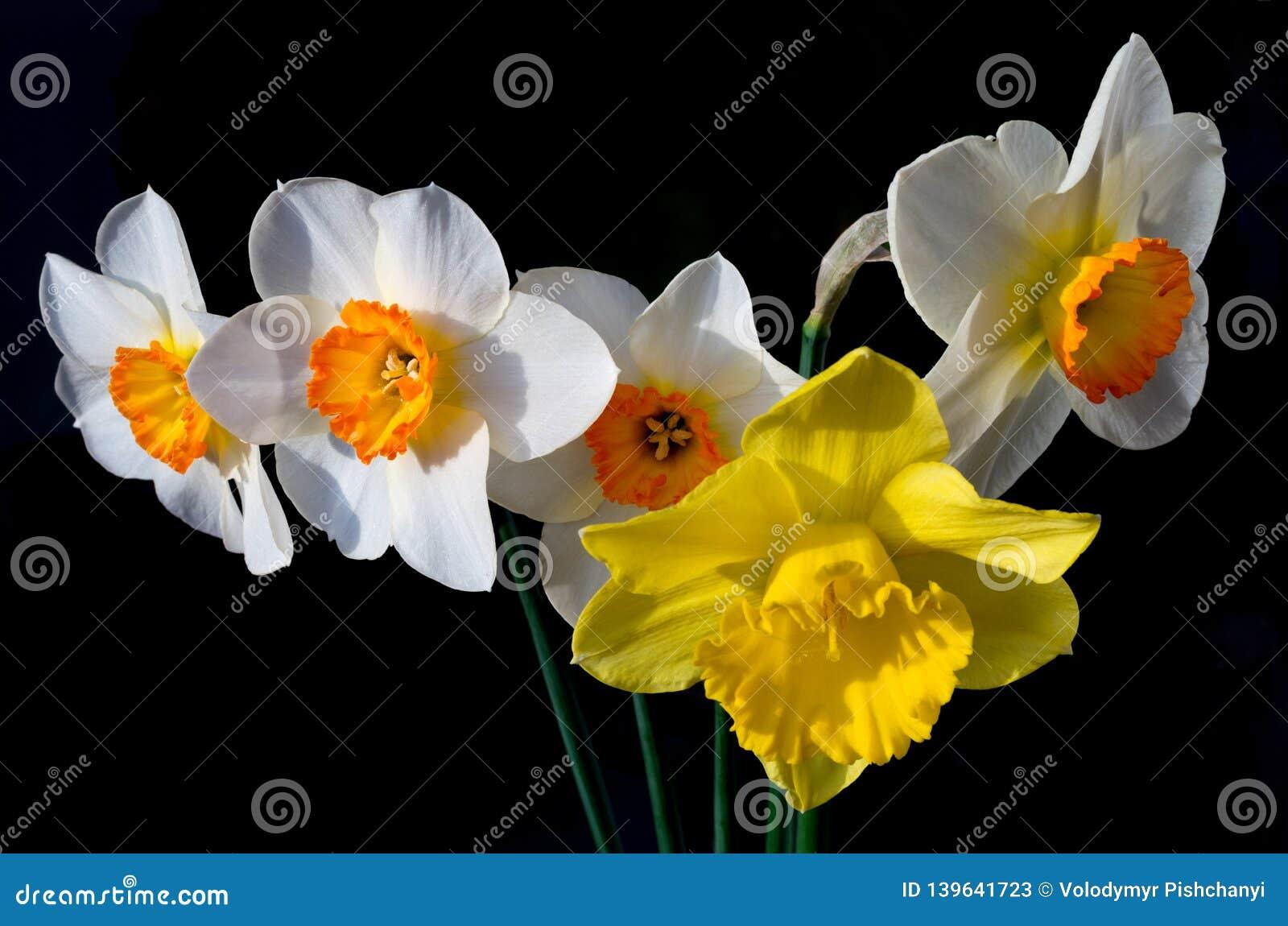 Een boeket van gele narcissen door de zon worden aangestoken die