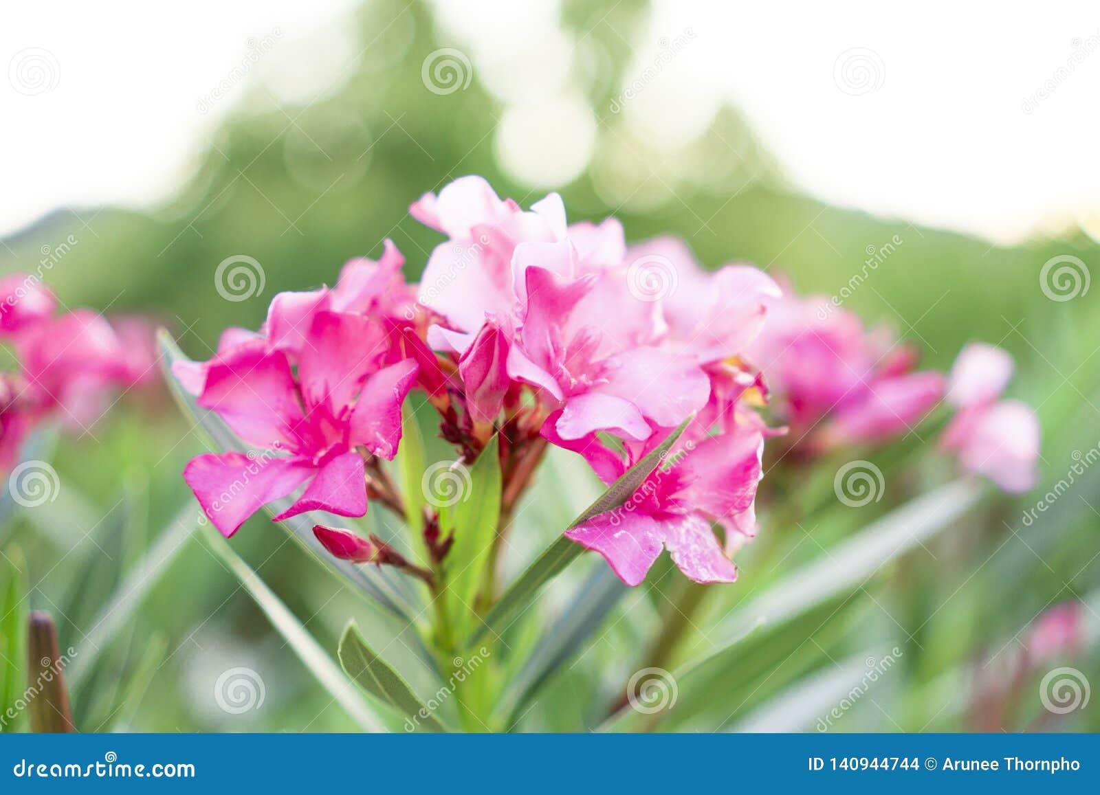 Een boeket van mooie roze bloemblaadjes die van geurige Zoete Oleander of Rose Bay, op groen bloeien doorbladert en onscherpe ach