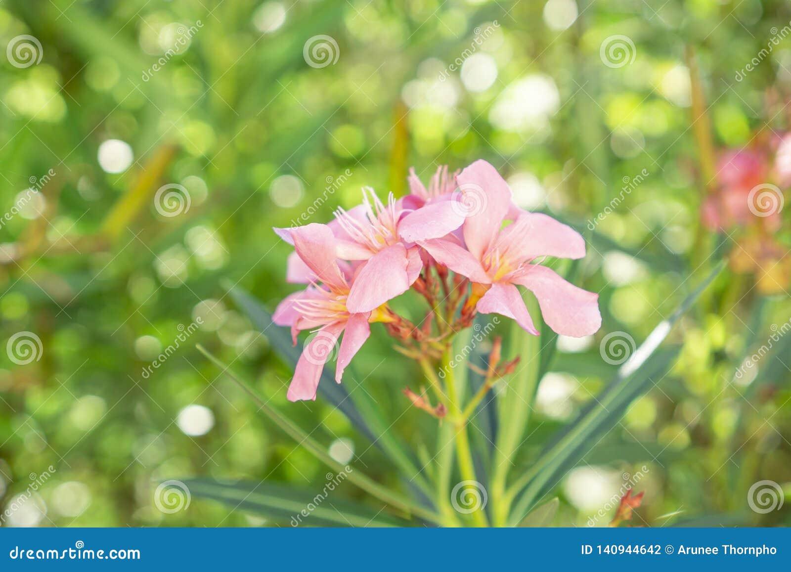 Een boeket van mooie roze bloemblaadjes die van geurige Zoete Oleander of Rose Bay, op groen bloeien doorbladert en vertroebelde