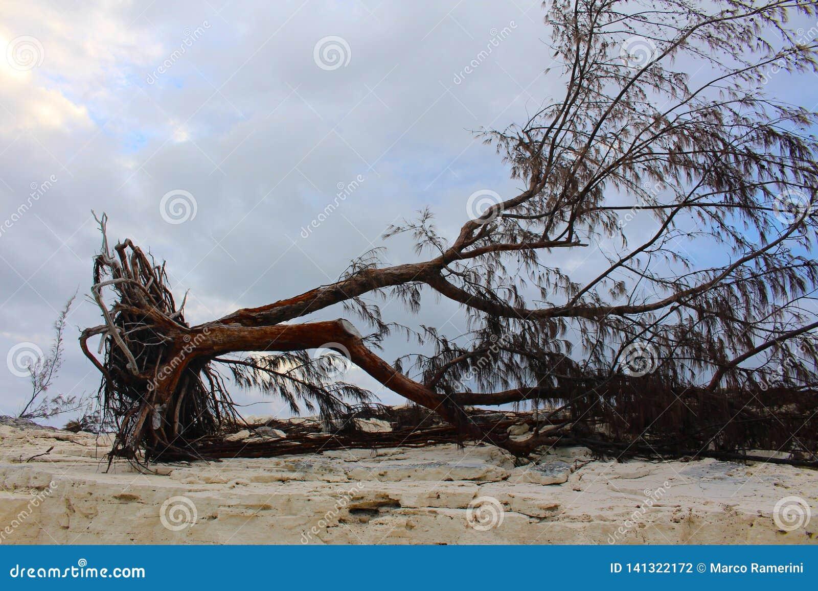 Een boom door een orkaan in een Caraïbisch eiland wordt ontworteld dat,