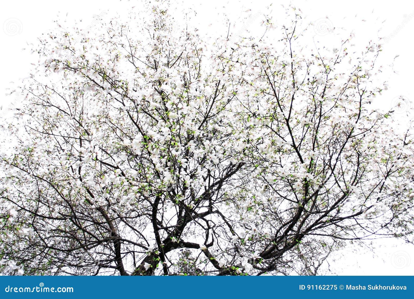 Een boom van witte magnolia