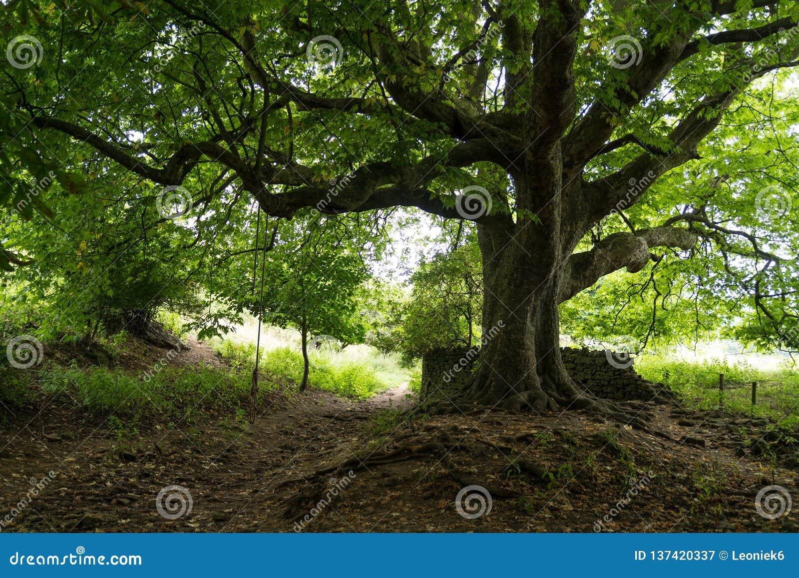 Een boomstam en de takken van de Vliegtuigboom met een sloot en een voetpad onderaan Dichtbij Abbotsbury, Engeland, het Verenigd