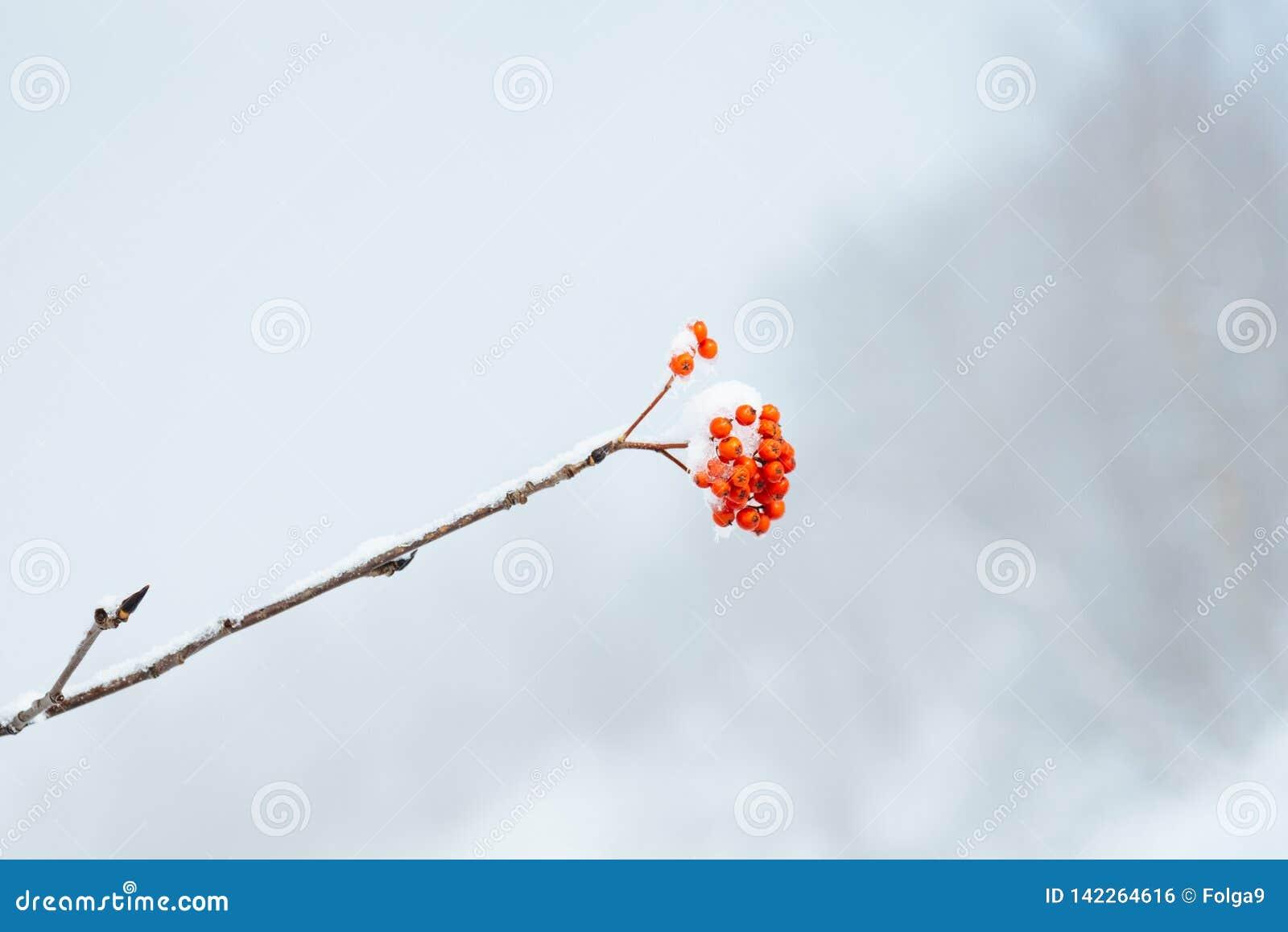 Een bos van lijsterbessenbessen op een tak in de winter