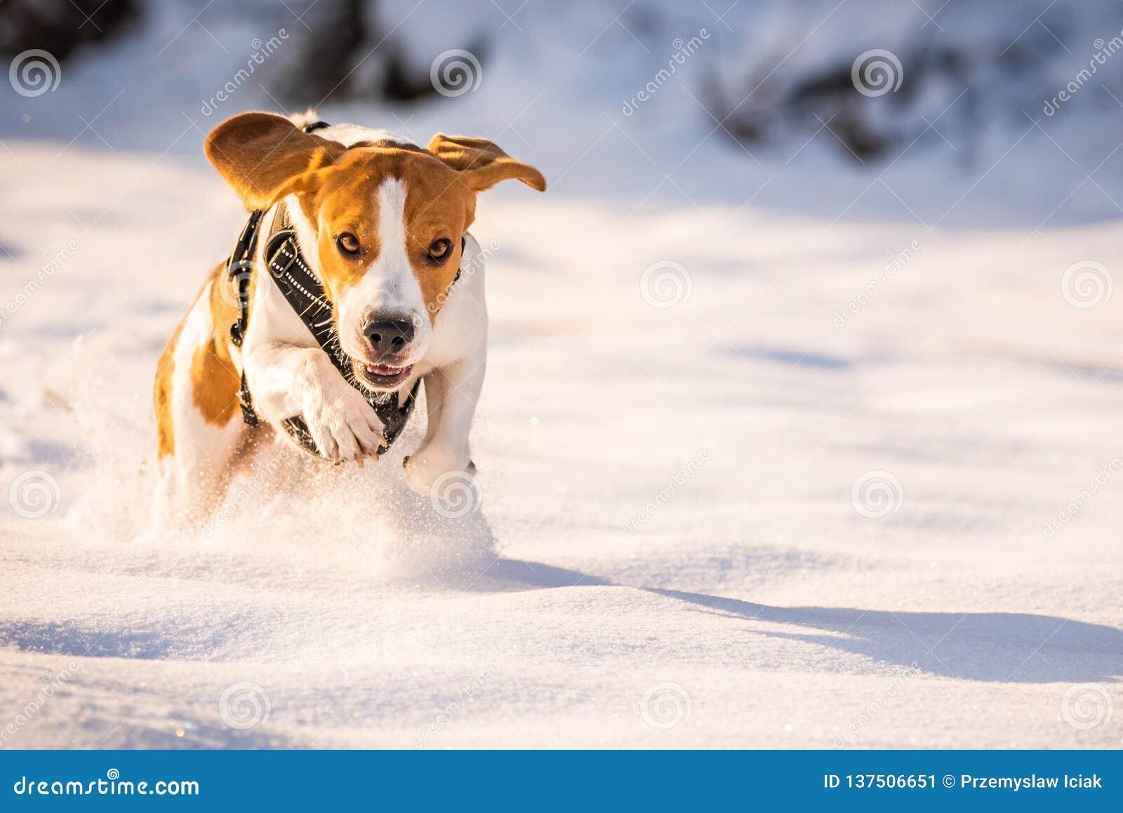 Een Brakhond die die op een gebied lopen in sneeuw wordt behandeld