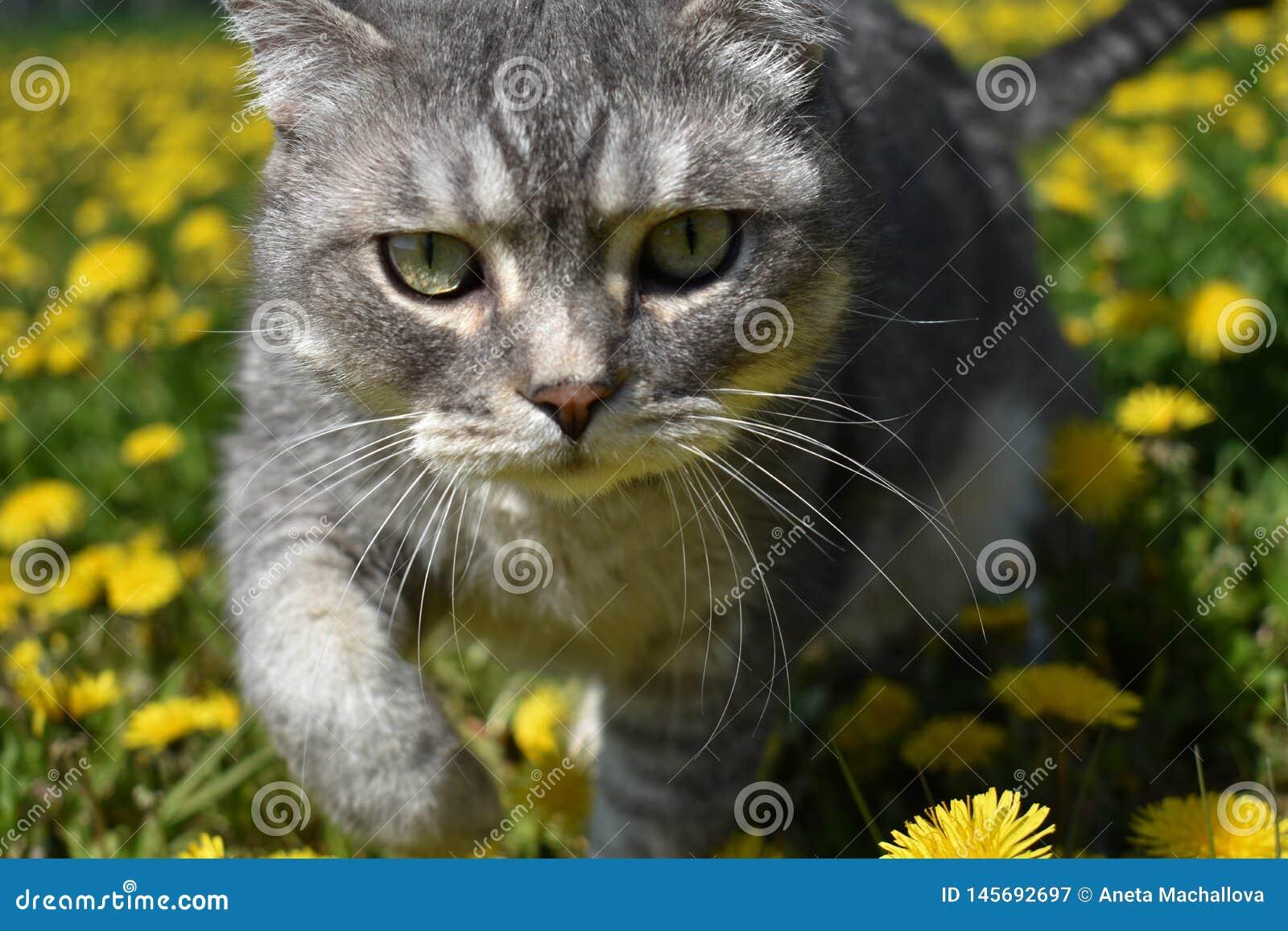 Een Britse kat loopt langs een het bloeien weidehoogtepunt van paardebloemen