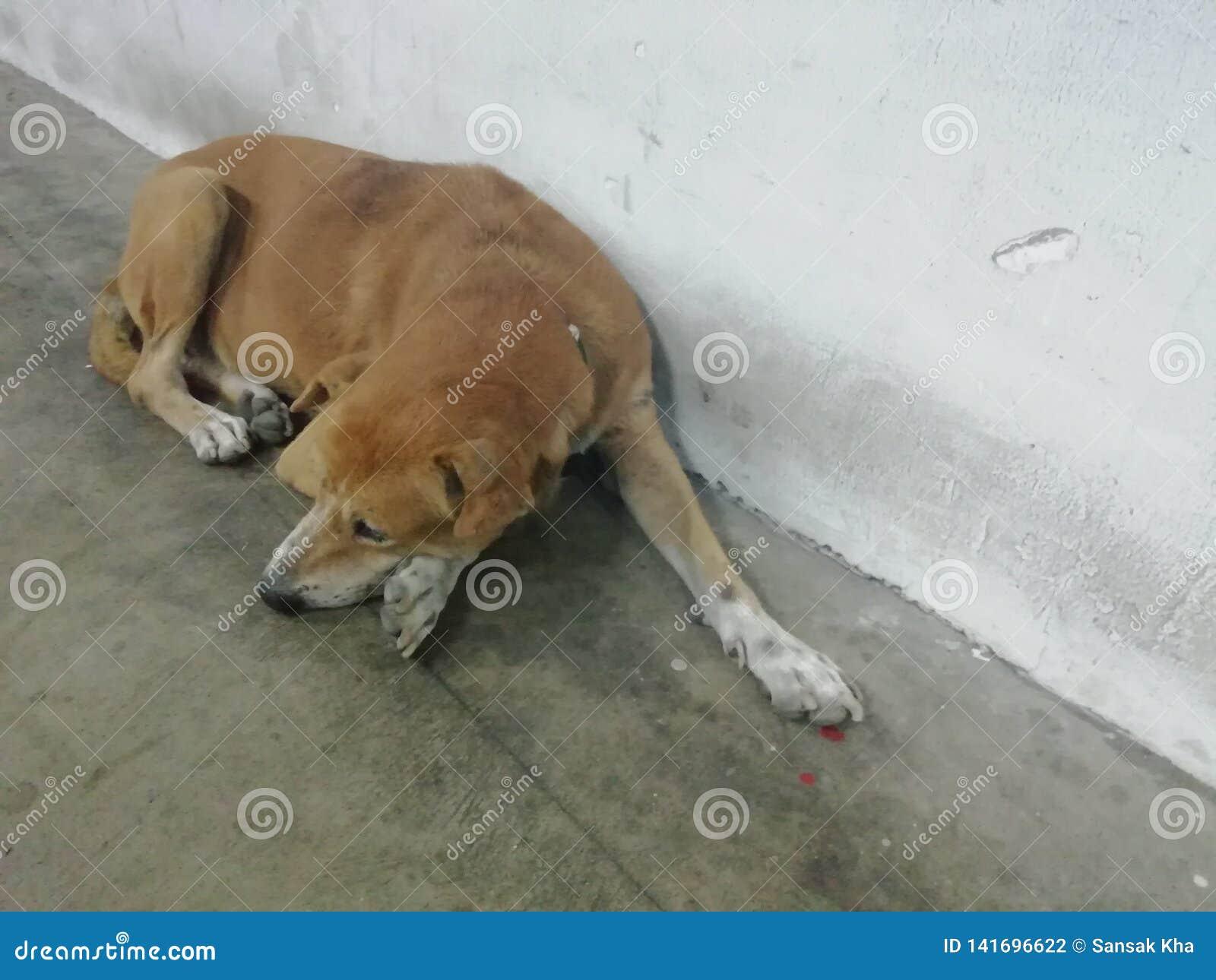 Een bruine hondslaap stil op de vloer