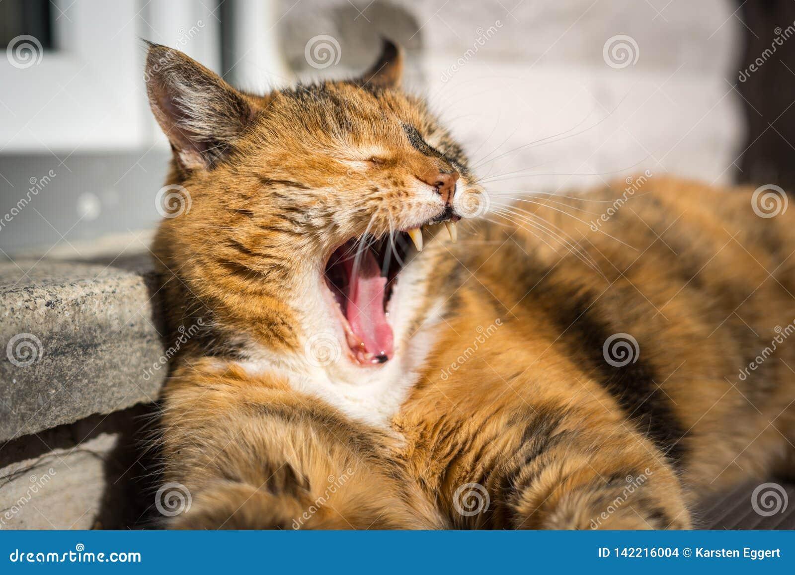 Een bruine vermoeide luie kat legt in de zon met open mond