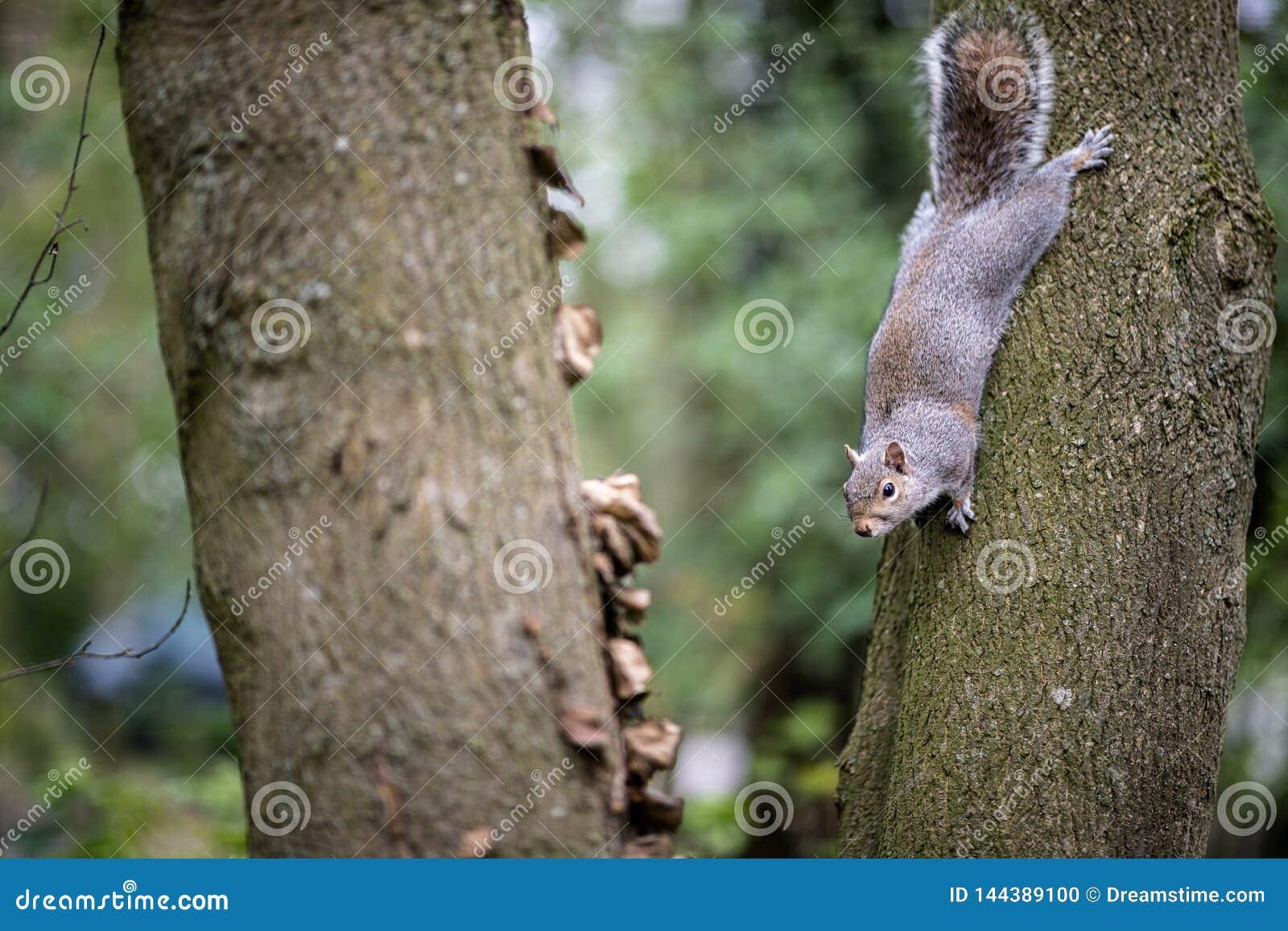Een brutale eekhoorn in een boom bij een park in het platteland van Kent