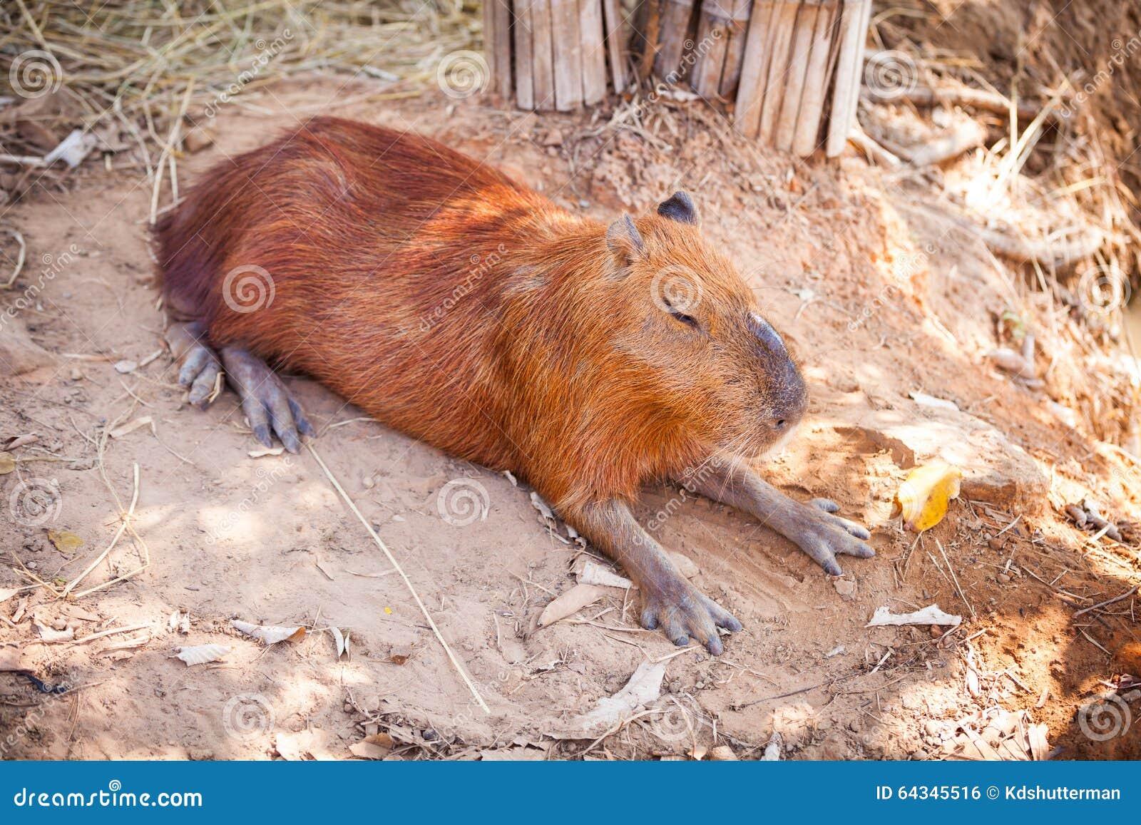 Slapen Op Grond : Een capybara slaap op naakte grond stock foto afbeelding bestaande