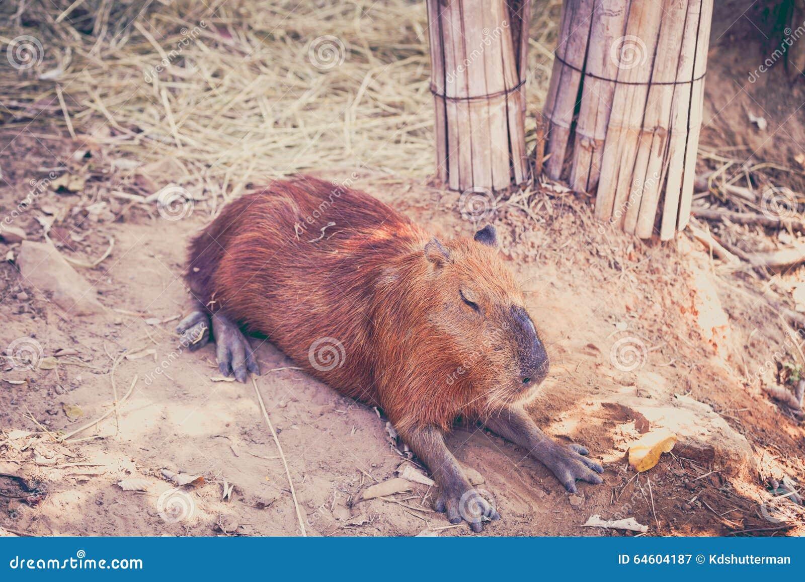 Slapen Op Grond : Een capybara slaap op naakte grond stock afbeelding afbeelding